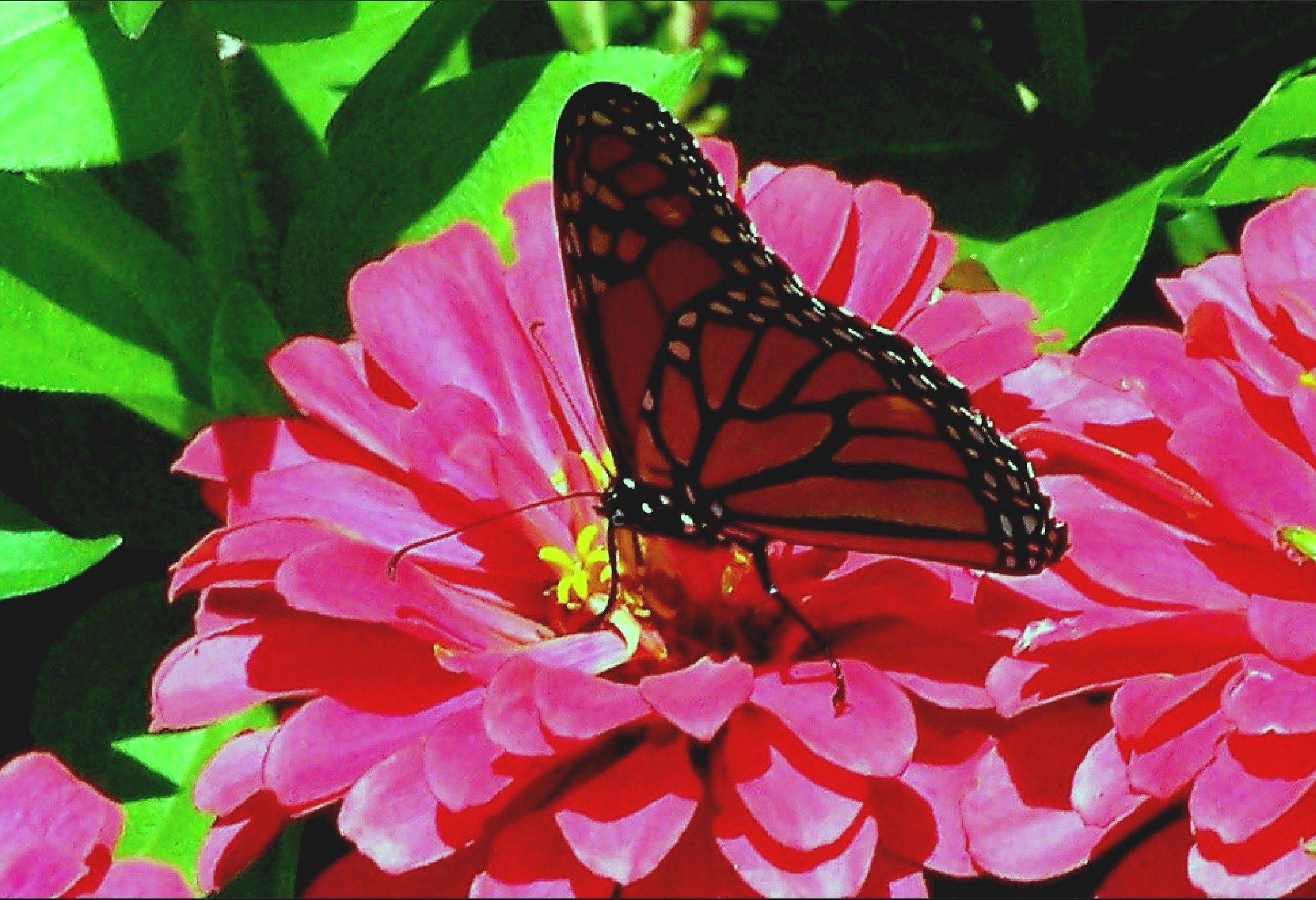 A monarch drinks nectar from a zinnia.