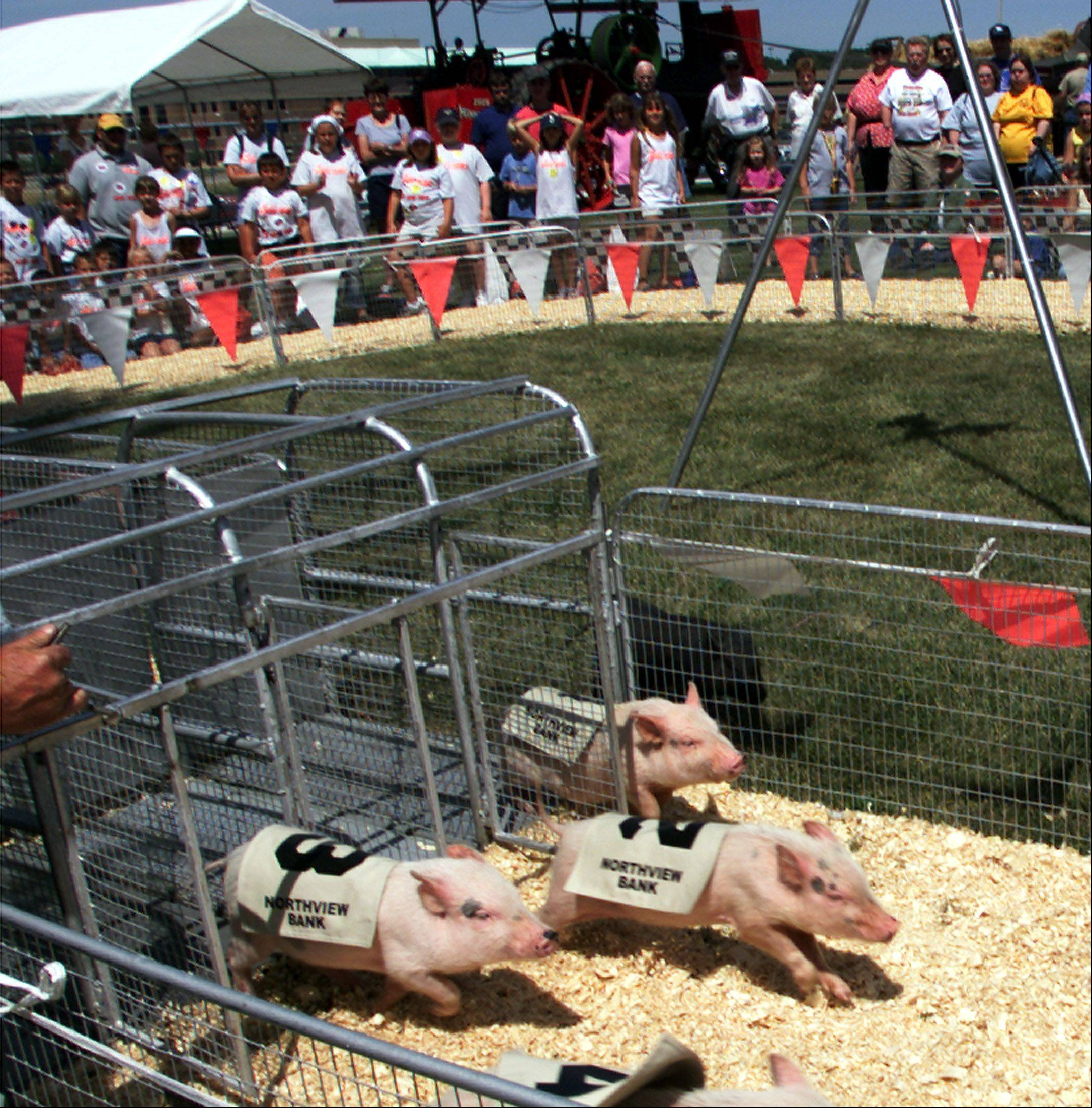 Pig races are popular at the DuPage County Fair in Wheaton.