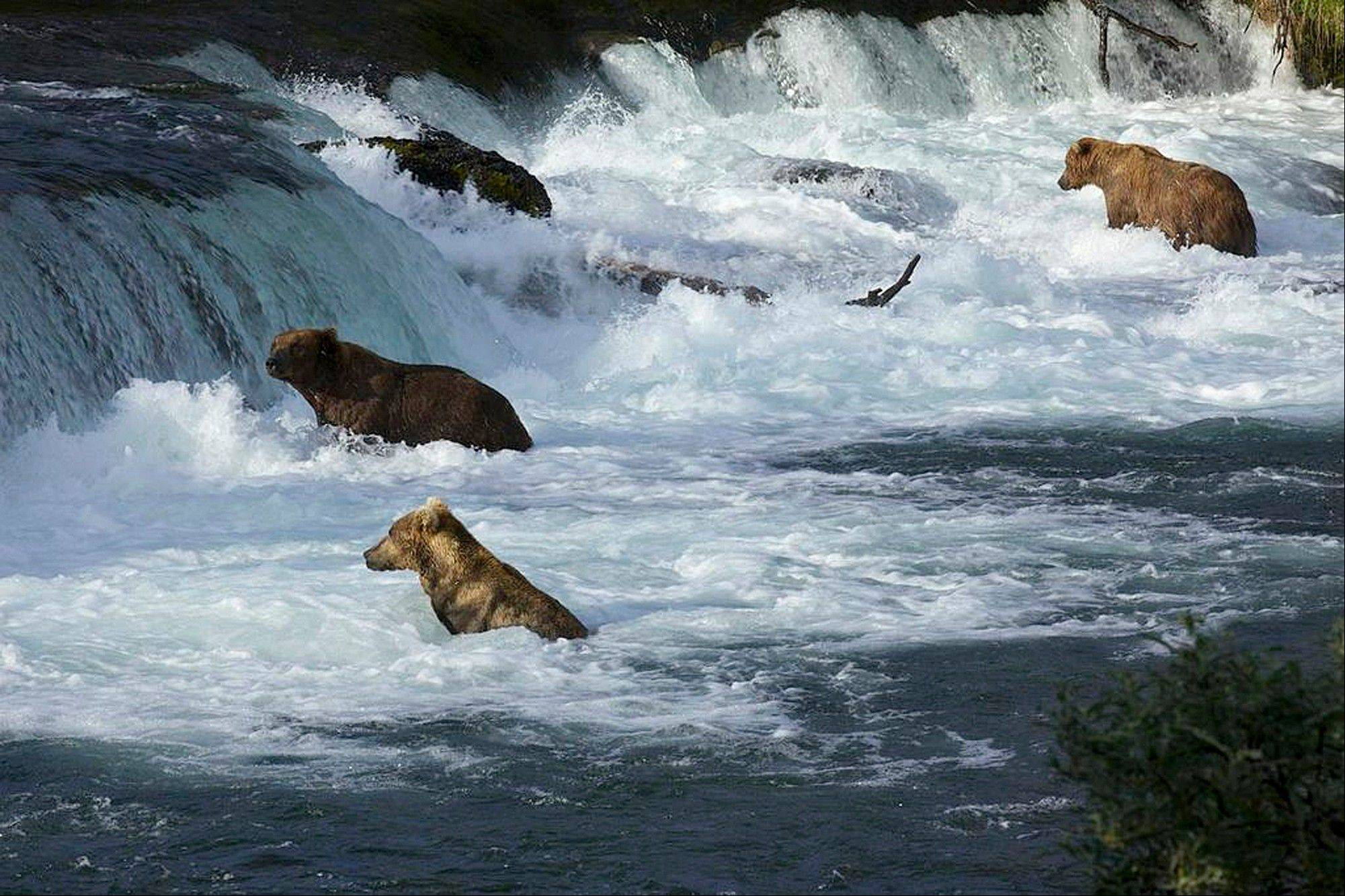 A group of bears wade through the water at Brooks Camp in Katmai National Park and Preserve, Alaska. The stars of a widely popular Internet series are ready for their second season. The grizzly bears will be coming to a small screen near you with more cameras and different angles as they fight to get a bounty of salmon before winter sets in.