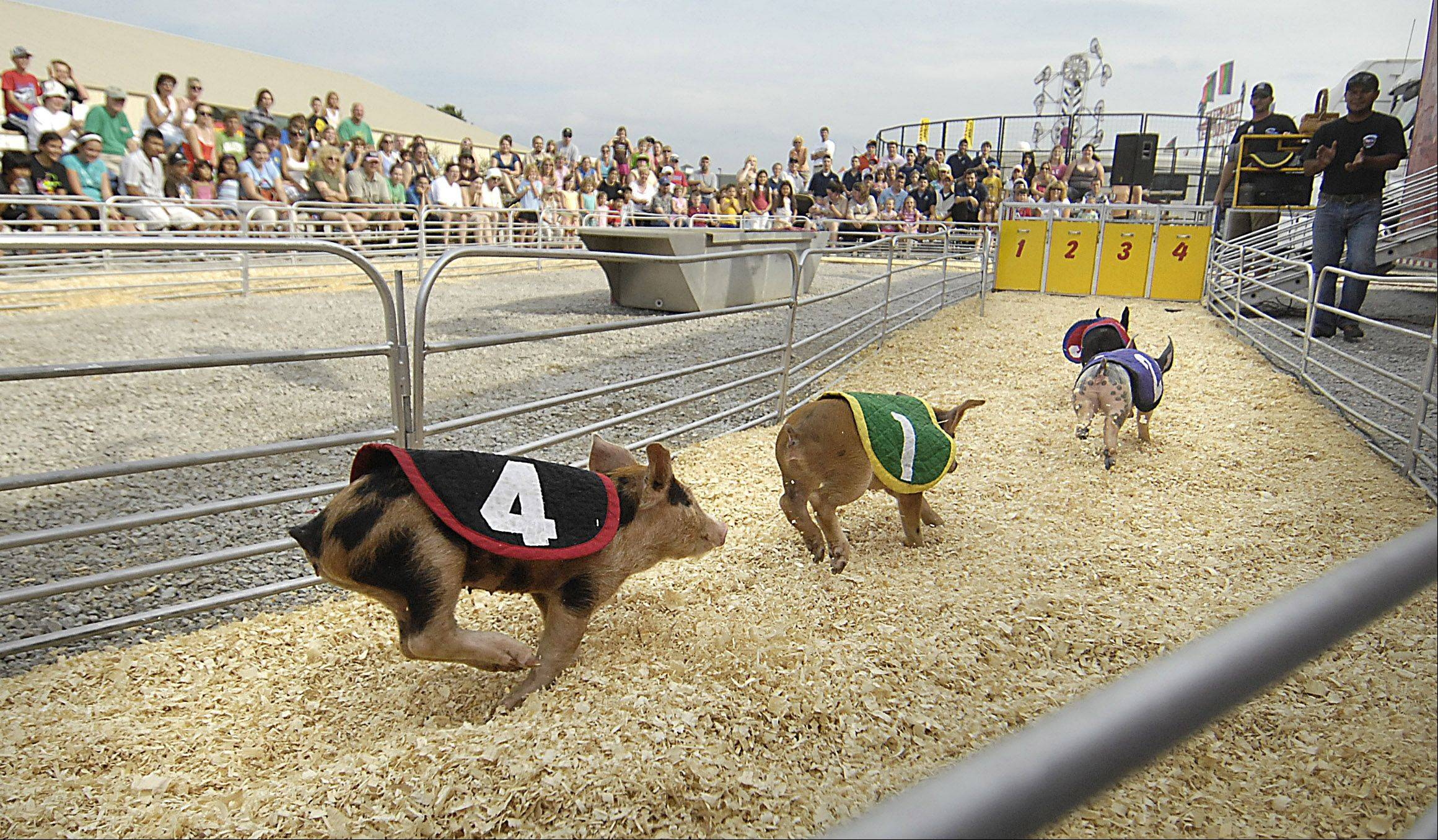 Pigs race around a circle track during a show by the Swifty Swine Productions at the Kane County Fair.