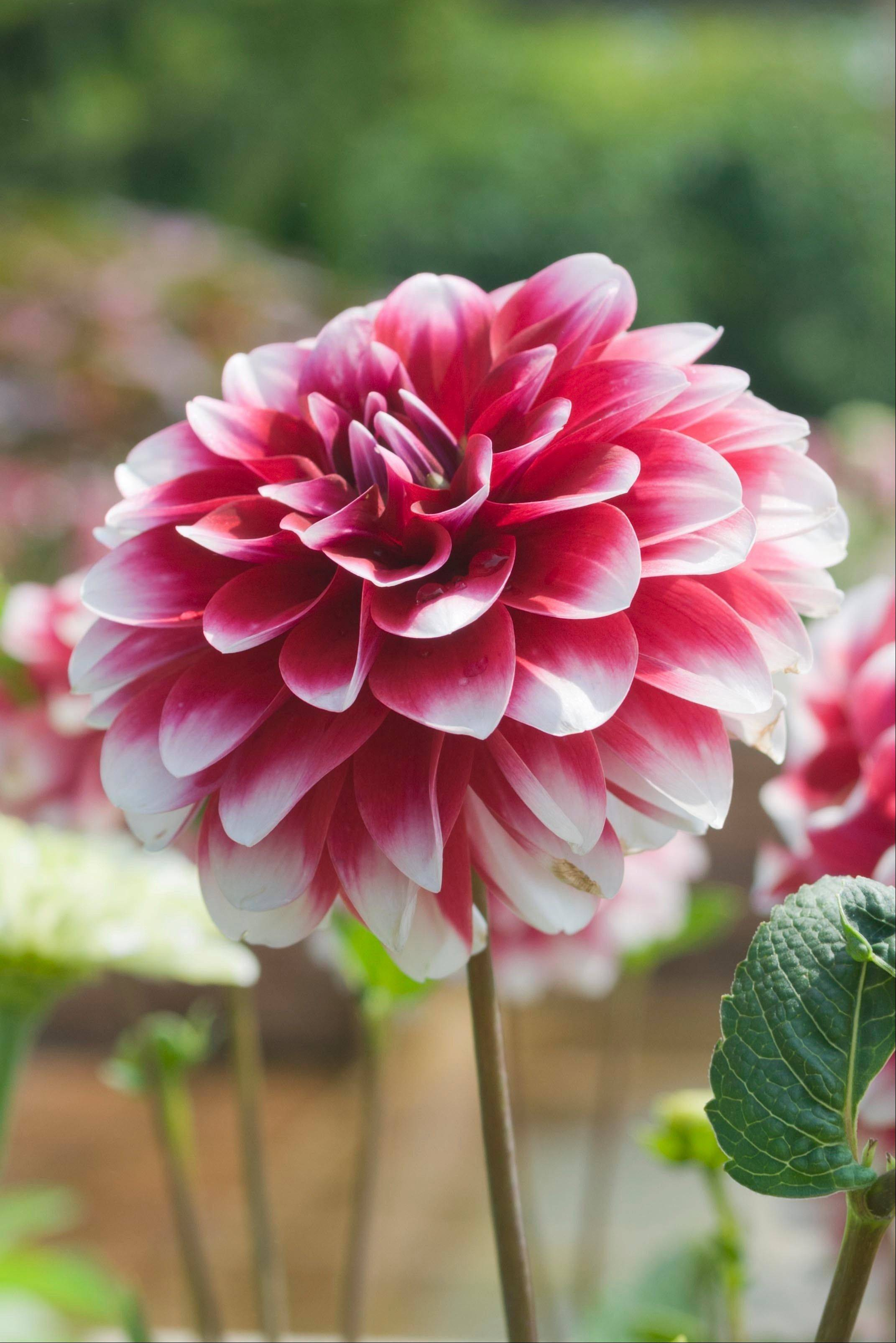 The stem of a dahlia flower should be trimmed of side shoots for maximum bloom growth.