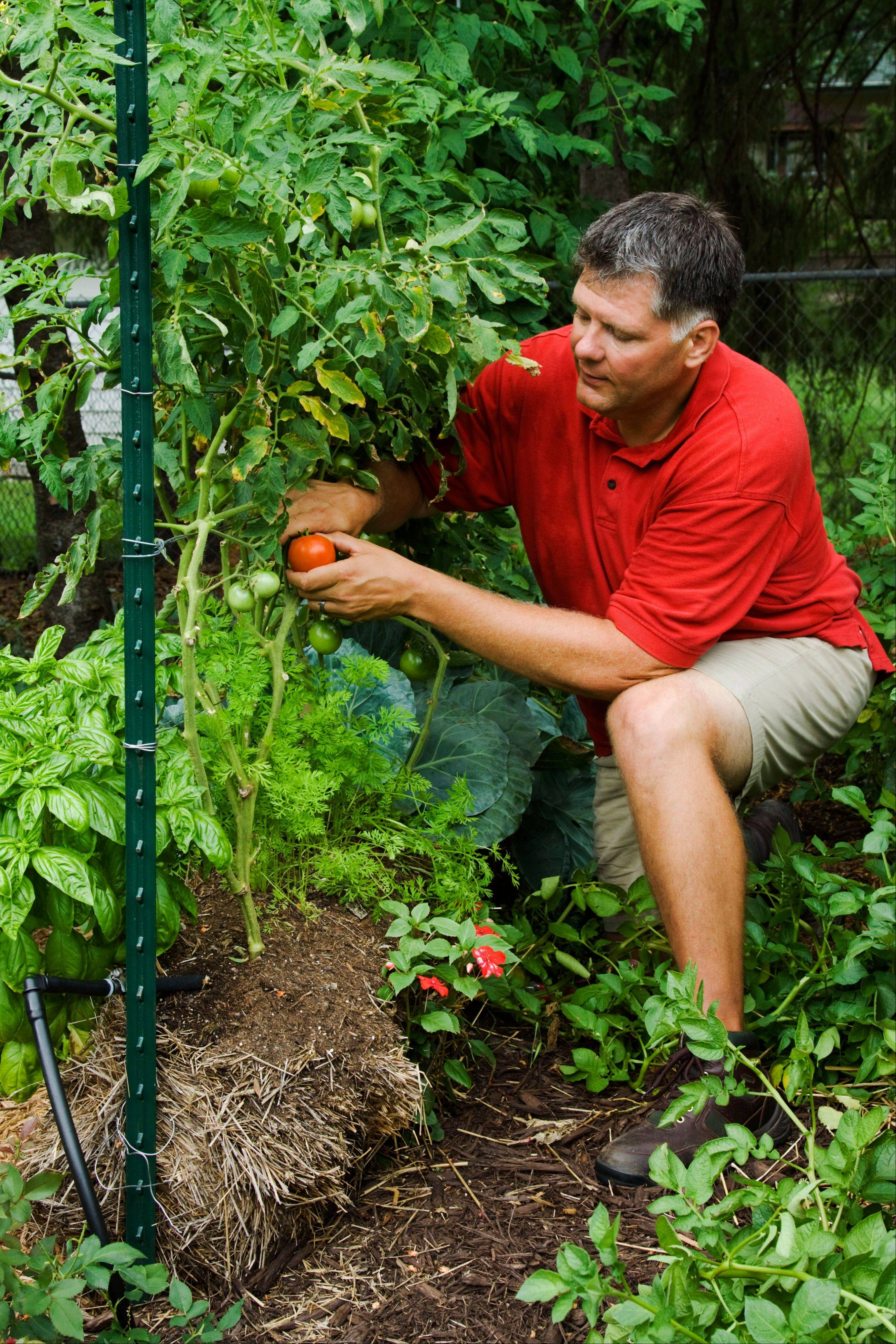 Minnesota author and gardener, Joel Karsten, picks tomatoes from his straw bale garden. Karsten is the leading proponent of a straw-bale gardening movement that has become one of this summer�s hottest gardening trends.