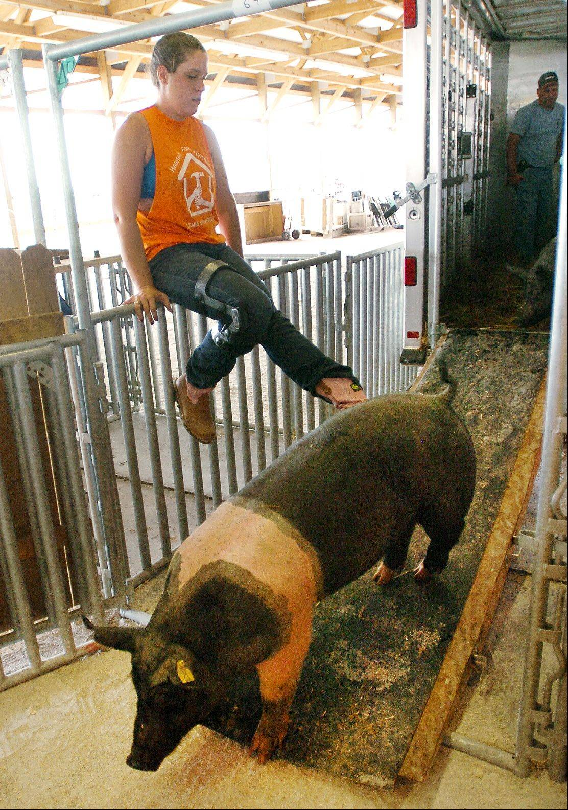 Pigs are unloaded for the start of last year's Lake County Fair in Grayslake.