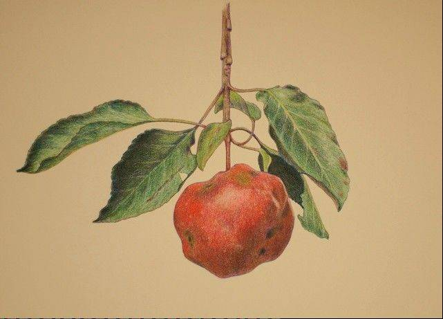 "Kathy Steere's version of fine, botanical art took a humorous twist with ""Apple Crop 2012."" After an early warm spring, followed by late freezing temperatures, summer heat and drought and a damaging storm, this single, worm-eaten apple was the entire crop out of three trees."