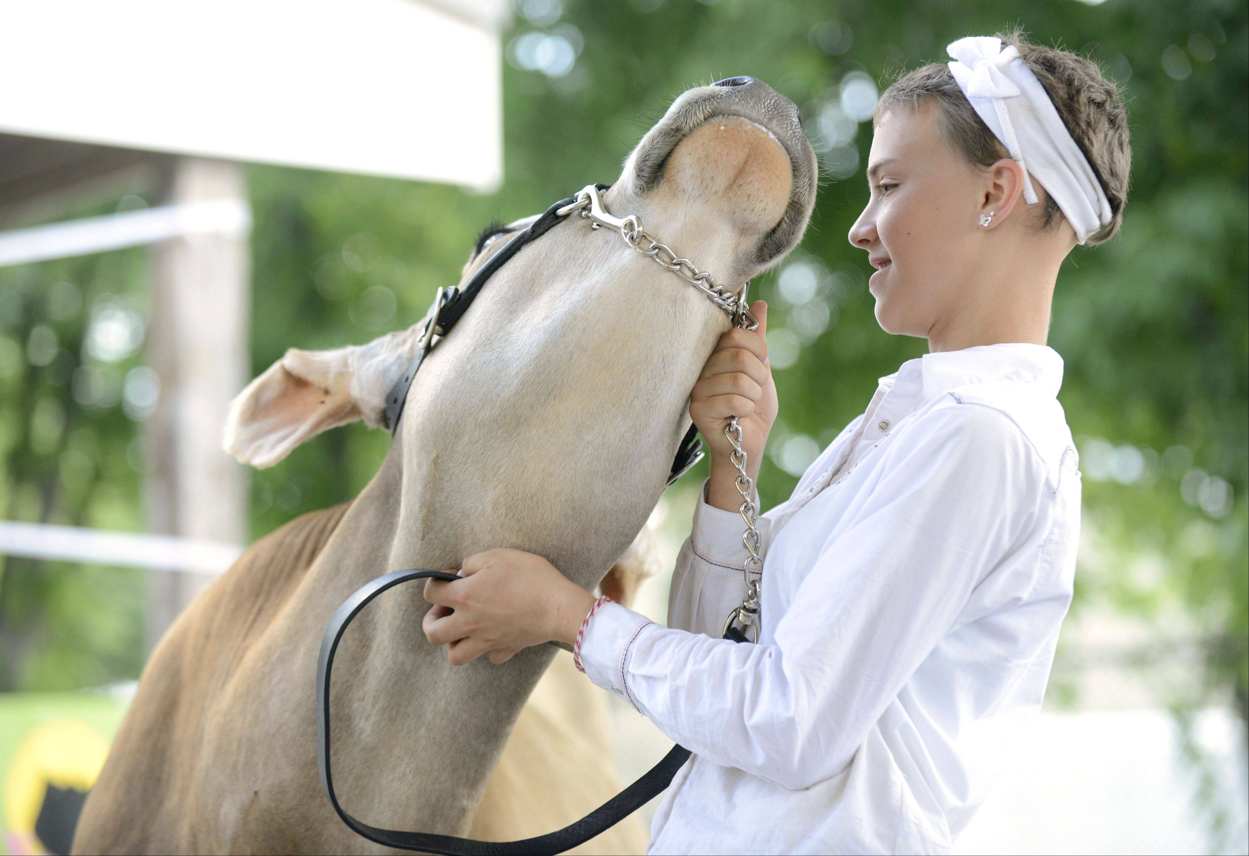 Emily Thompson, 12, of St. Charles, and the 4-H Primrose Clovers gives Clover a soothing scratch on her neck as they wait to show Thursday in the Jersey Junior Yearling Class Champion event at the Kane County Fair. It was Thompson's second year showing for 4-H group, which is based at Primrose Farm Park in St. Charles.