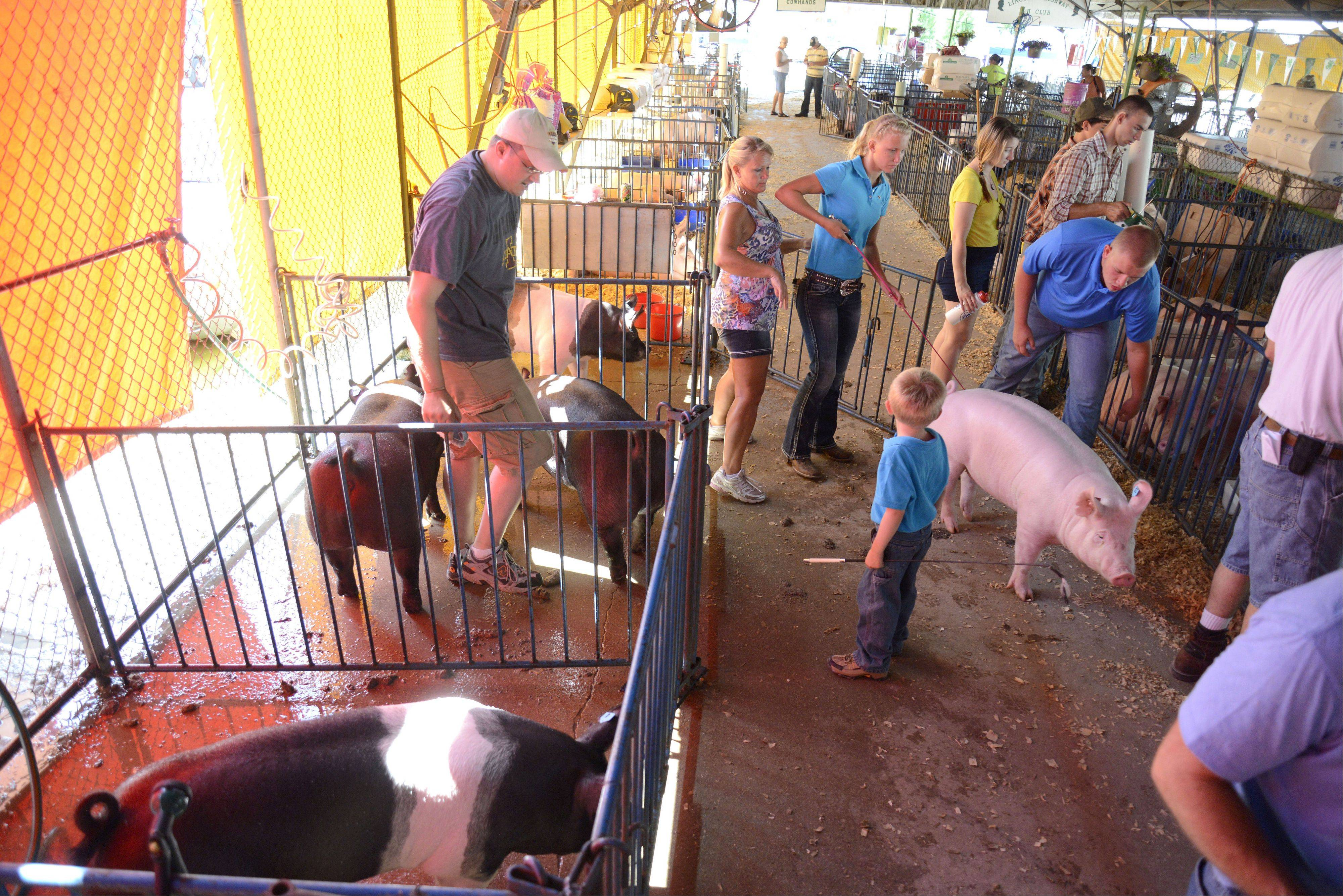 Jeff Anderson preps pigs for showing while his son, Clay, 4, watches Rachel, 16, and Christian Thurwanger, 18, of Sycamore, guide one of their pigs to the show ring Thursday at the Kane County Fair in St. Charles. The Andersons are showing for the Big Rock Cowhands 4-H club, and the Thurwangers are showing independently.