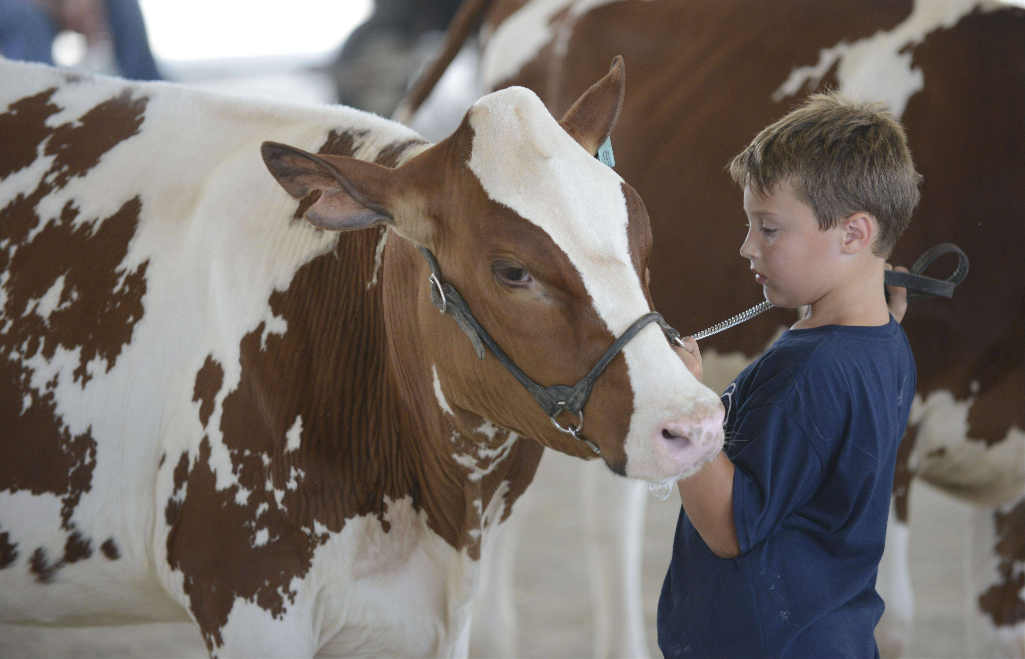 J.T. Dorn, 7, of Campton Hills, shows a calf for the Lenkaitis family farm of Campton Hills in the Junior Champion of Red and White dairy cattle category Thursday at the Kane County Fair.