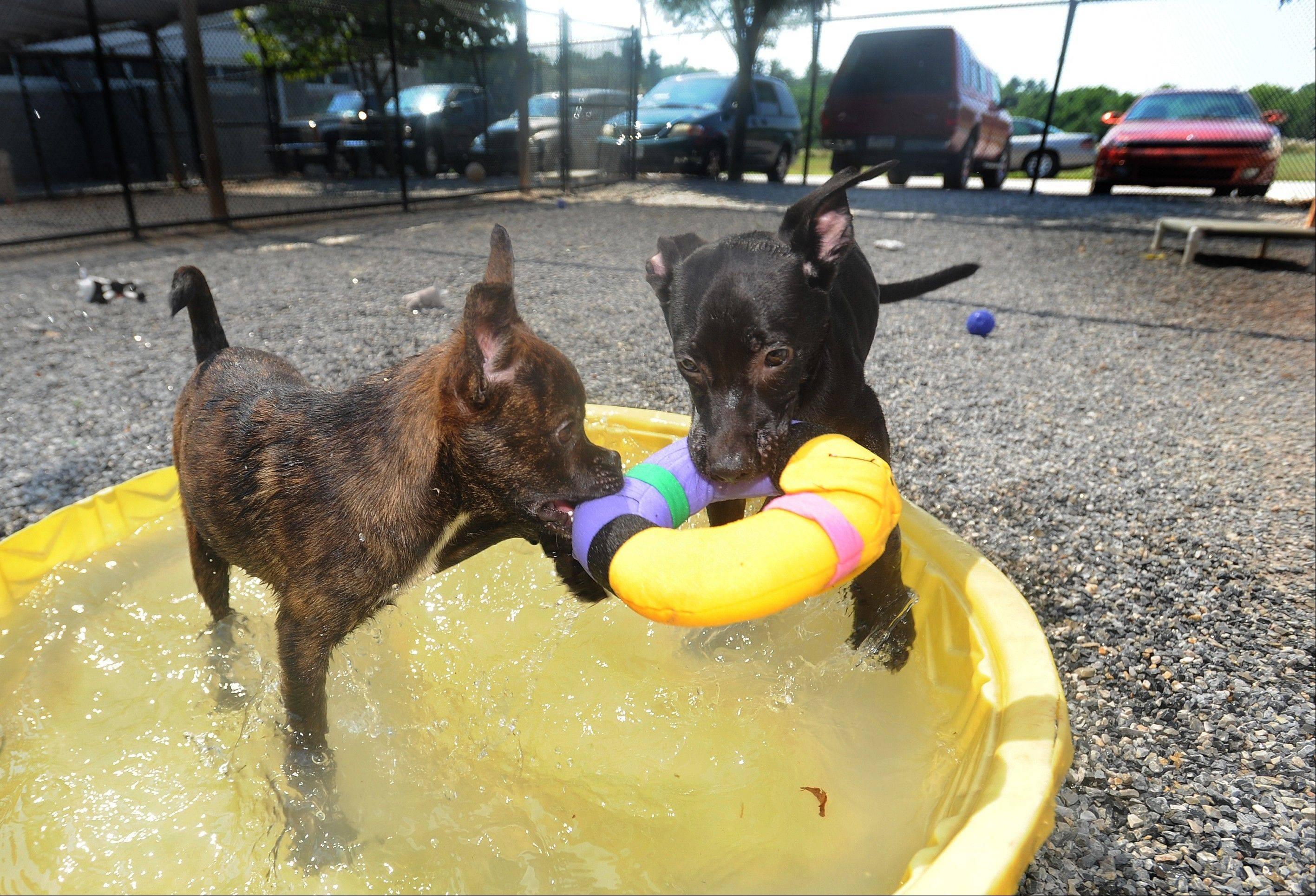 A duo of mixed breed 4-month-old puppies play in a kiddie pool Thursday at the York County SPCA in York, Pa.