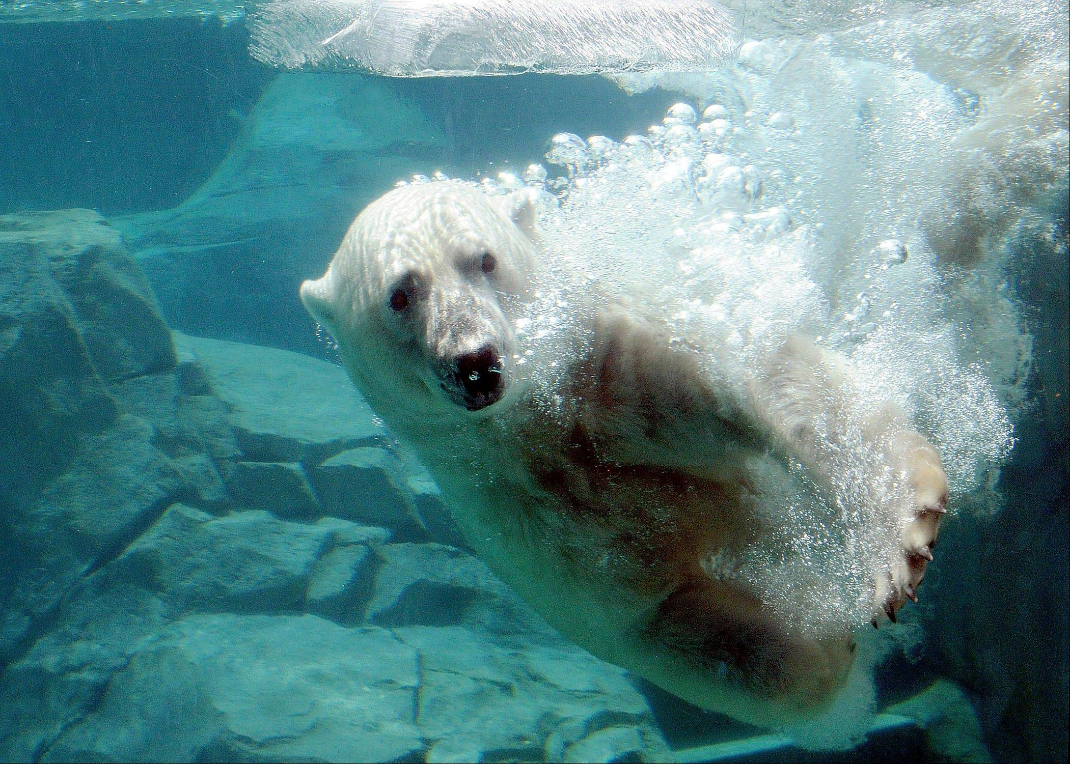 Hudson, one of the polar bears at Brookfield Zoo enjoys a cool swim Thursday as temperatures climbed into the mid 90s.