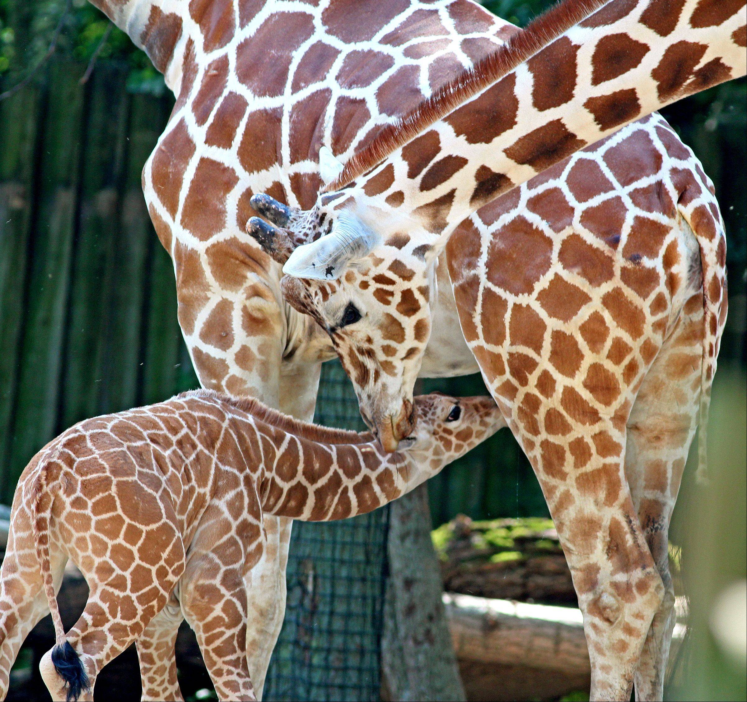A mother giraffe nursing its newborn young at Brookfield Zoo last week.