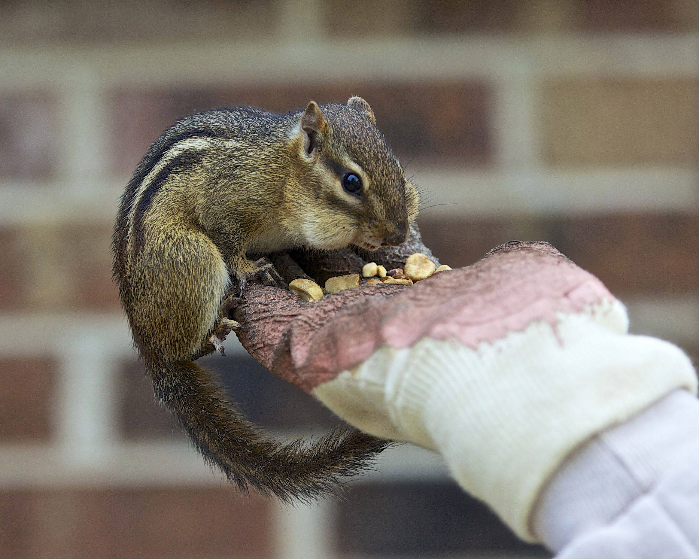 A chipmunk eats peanuts out of a woman's hand on May 4th in an Ingleside.