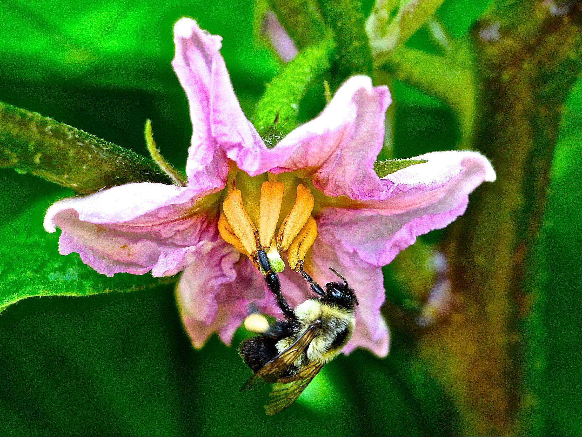 A honey bee pollinates an eggplant flower.