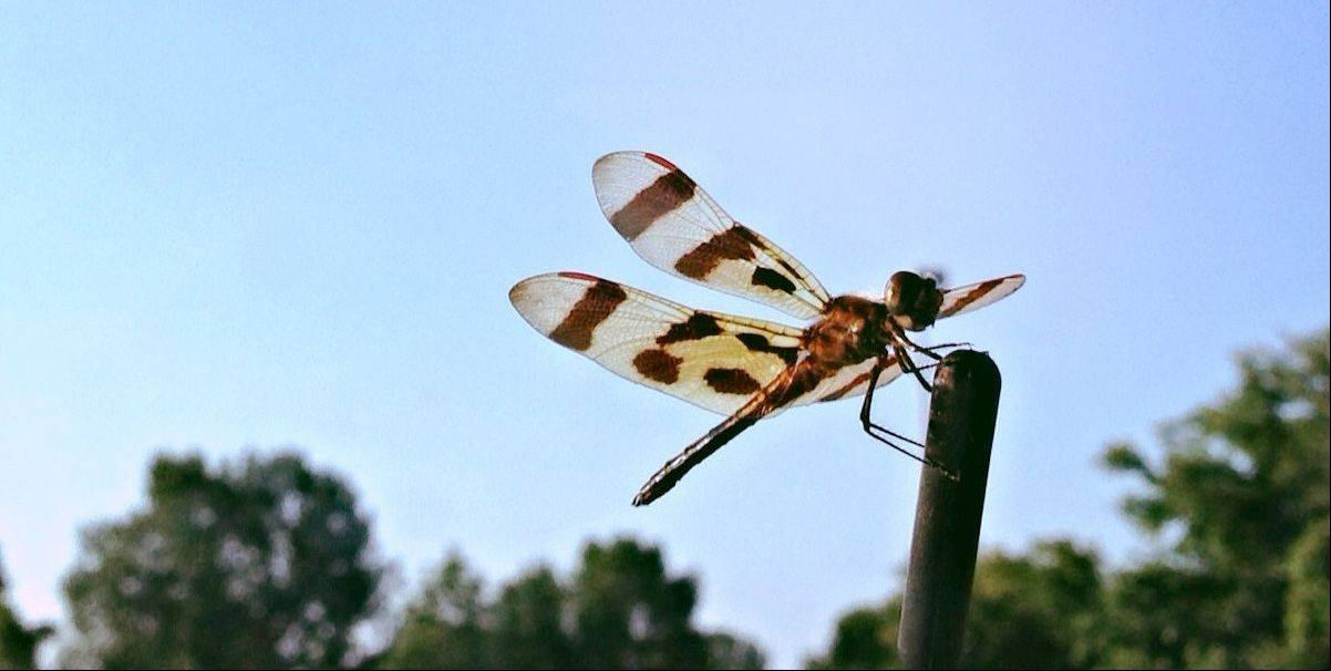 I took this photo using my iPhone in the Super Target parking lot on the spur of the moment. Our Prius' raised hatch allowed me to get close to the insect without disrupting its perch on the roof's antenna. The contrast between the parking lot versus the dragonfly's delicate wings against the blue sky felt like the quintessential suburban summer.