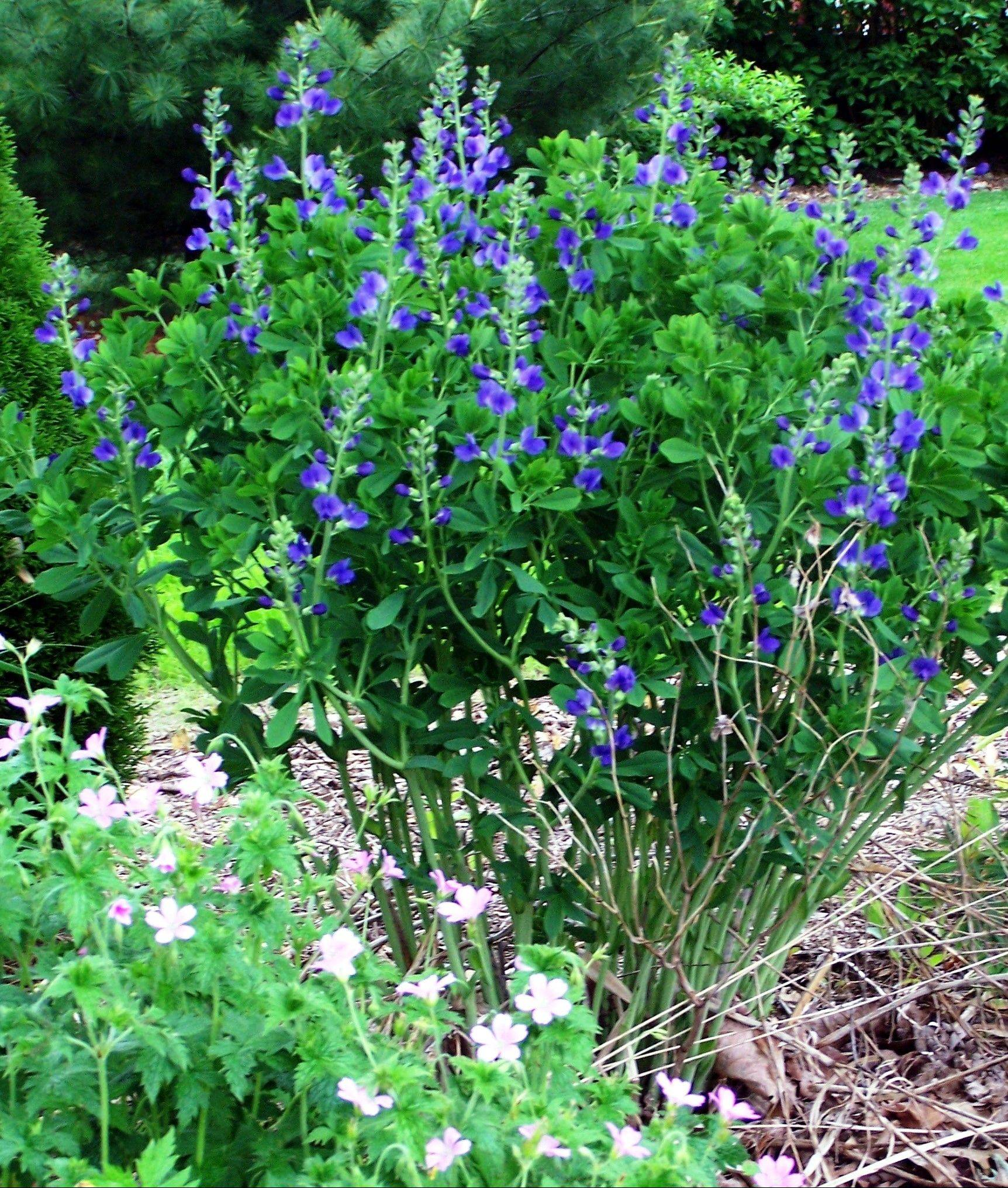 Blue false indigo is a beautiful native to include in the landscape.