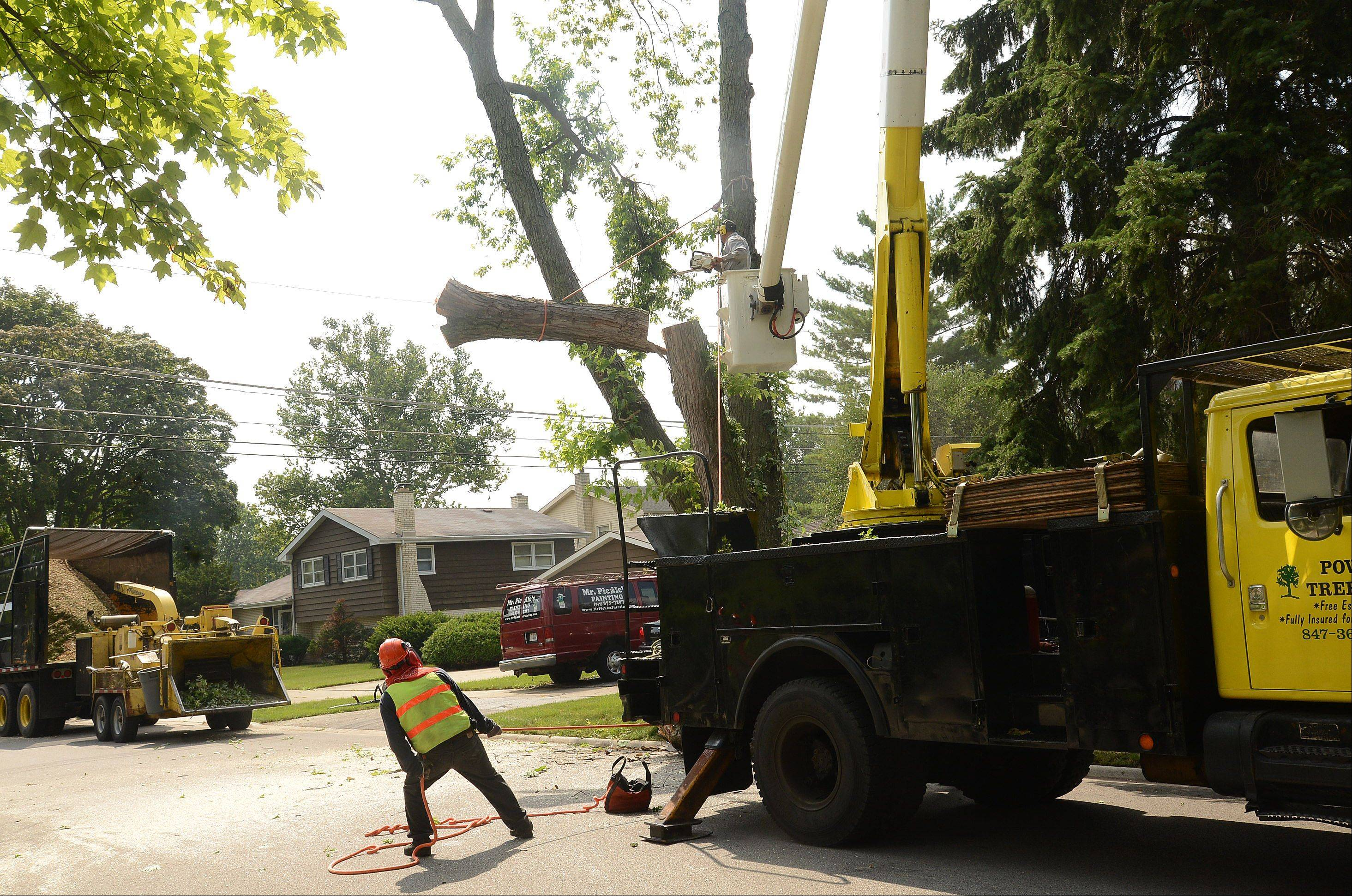 A crew from Powell Tree Care cuts down a tree on Park Street in Arlington Heights.