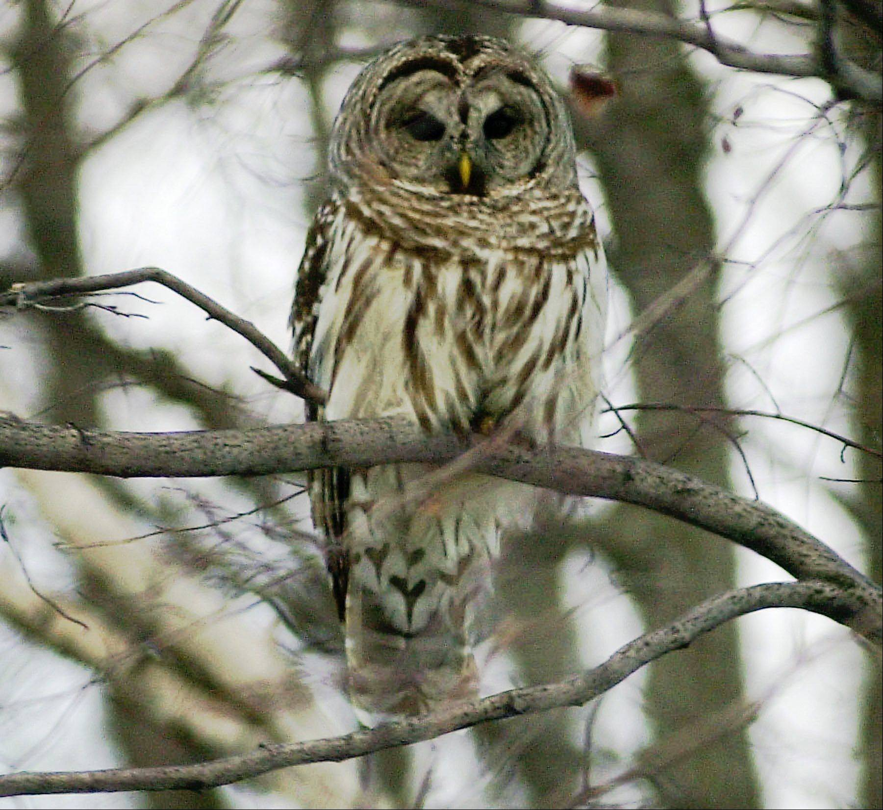 Associated Press/Feb. 16, 2002A barred owl in Calais, Vt.