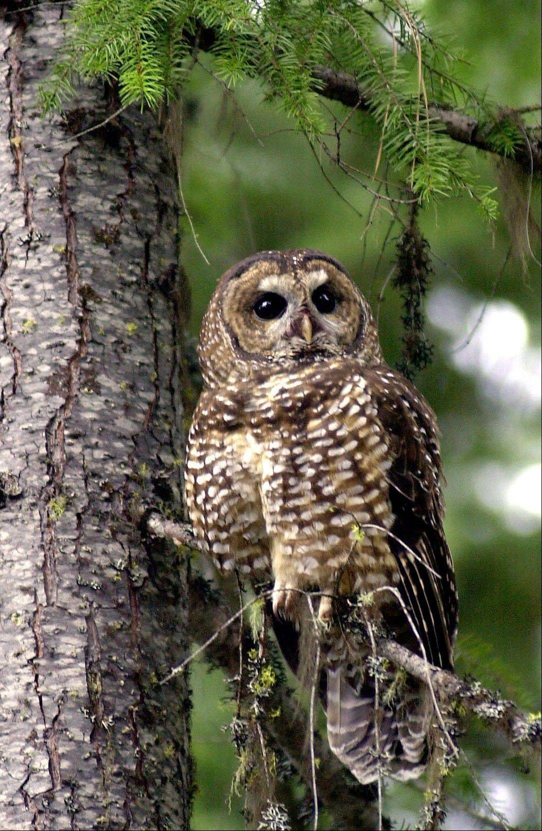 Associated Press/May 8, 2003 A northern spotted owl sits on a tree in the Deschutes National Forest near Camp Sherman, Ore.