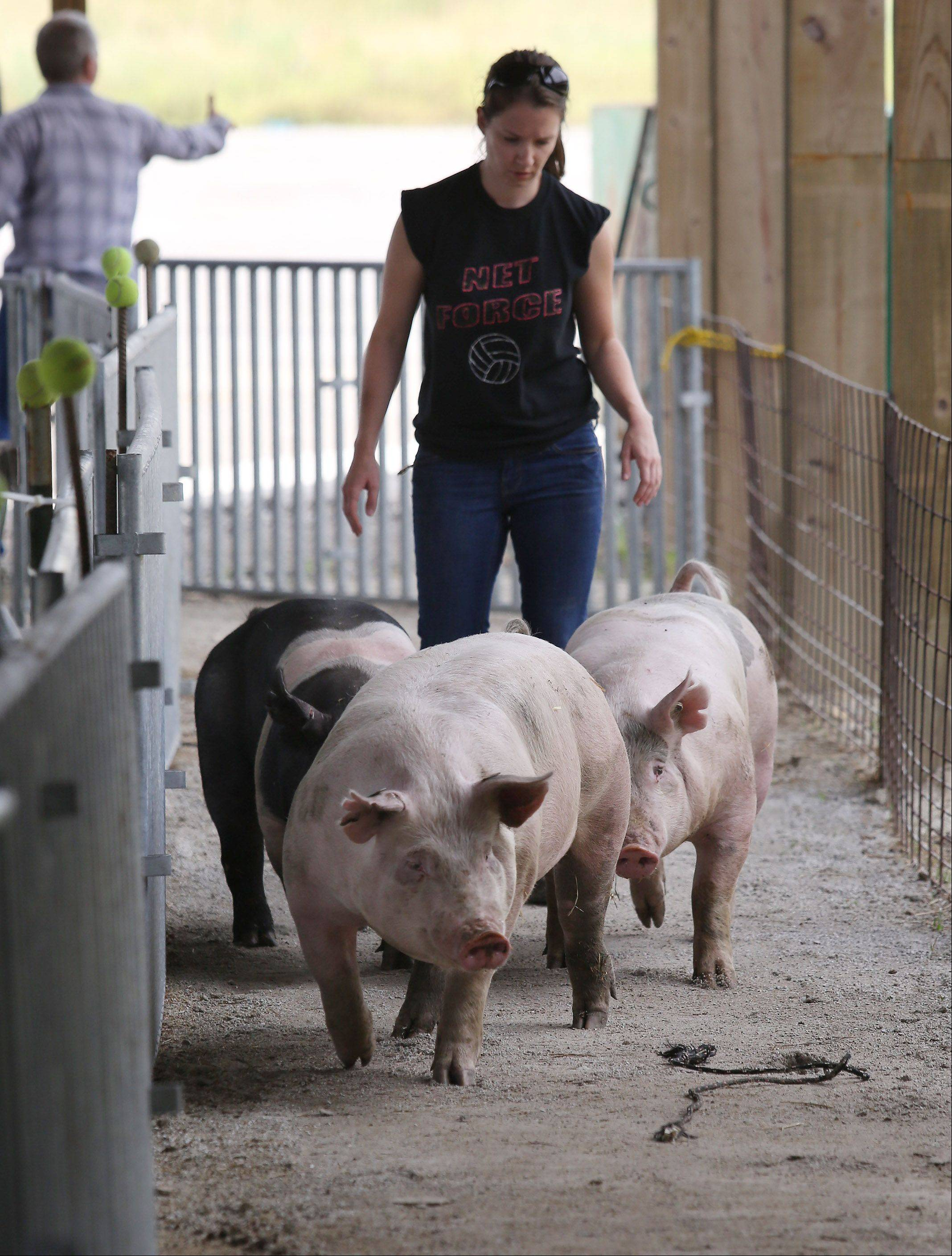 Maria Carlson of North Chicago herds her pigs to their cages Tuesday at the Lake County Fair in Grayslake.