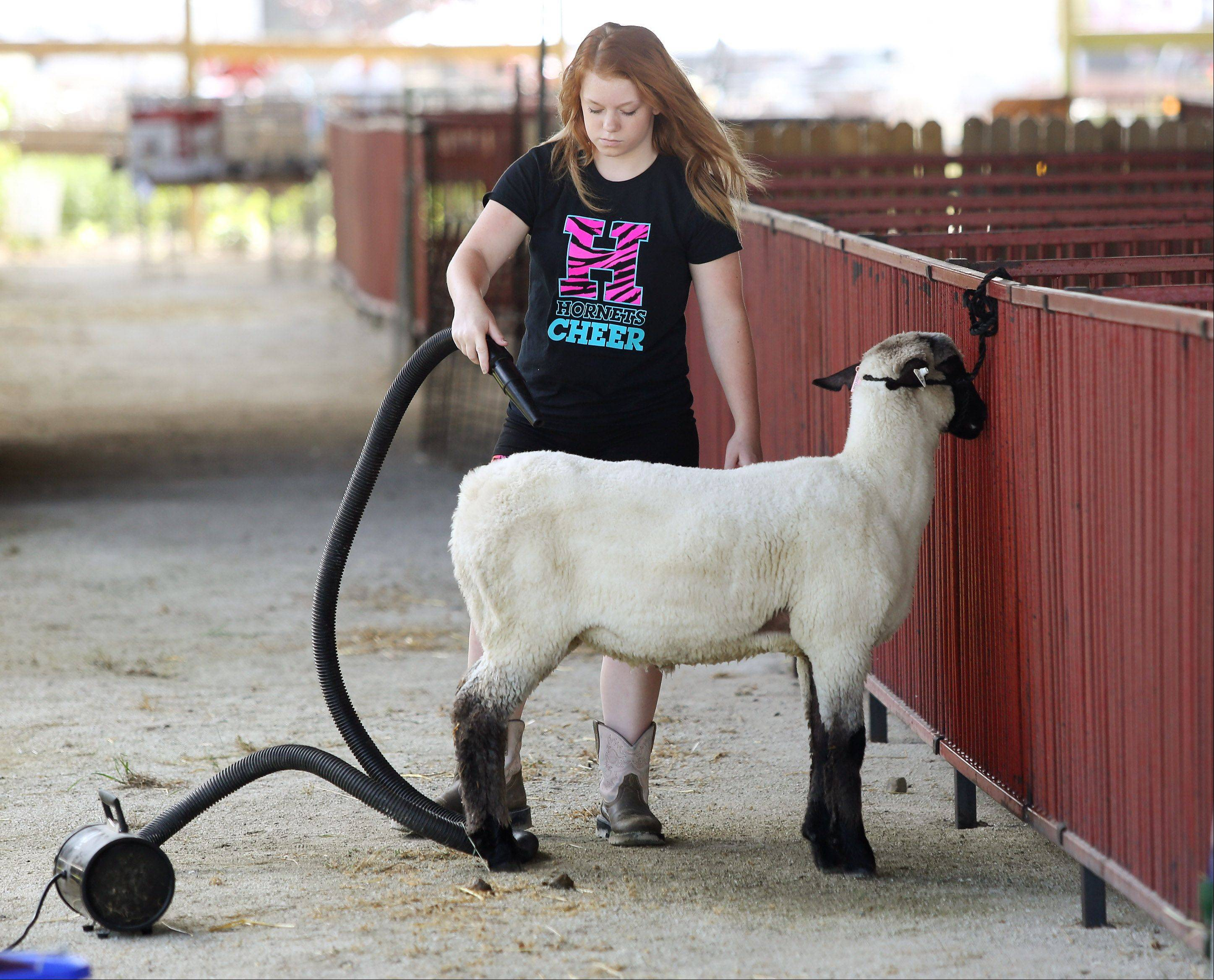 Sabrina Burton of Harvard, 15, prepares her sheep Tuesday for upcoming events at the Lake County Fair in Grayslake.