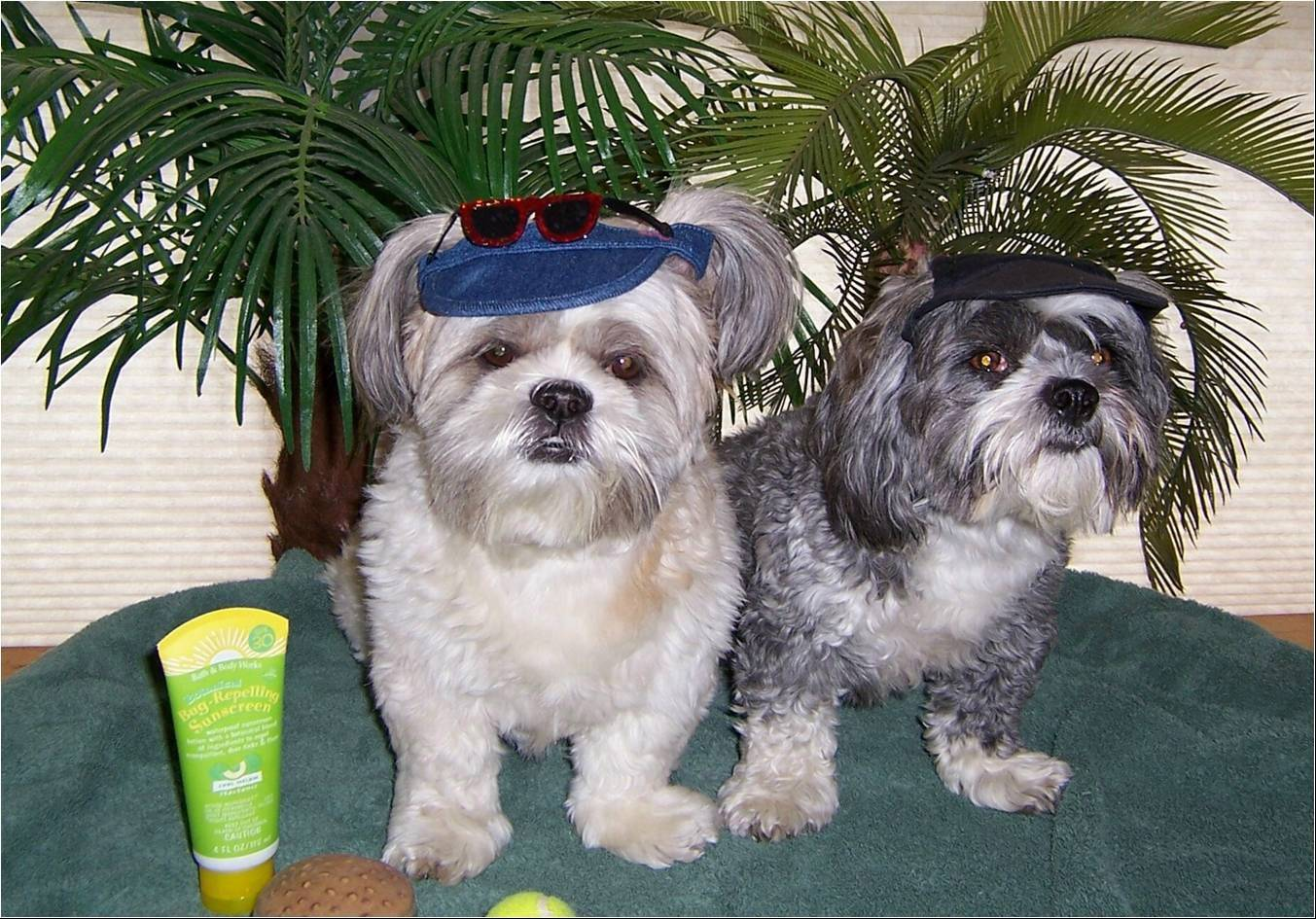 A Shih Tzu named Shibui Fong, left, was killed Tuesday when it was attacked by a pit bull in Wauconda's Cook Park.