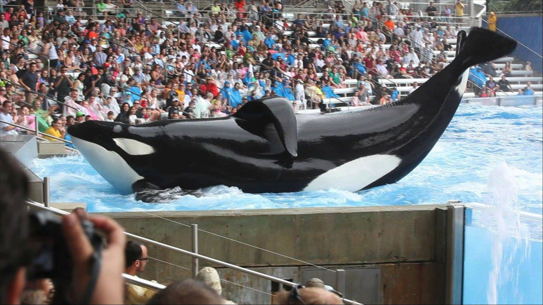 "Tilikum, a six-ton orca, performs at SeaWorld after killing a trainer in 2010, in the new documentary ""Blackfish."""