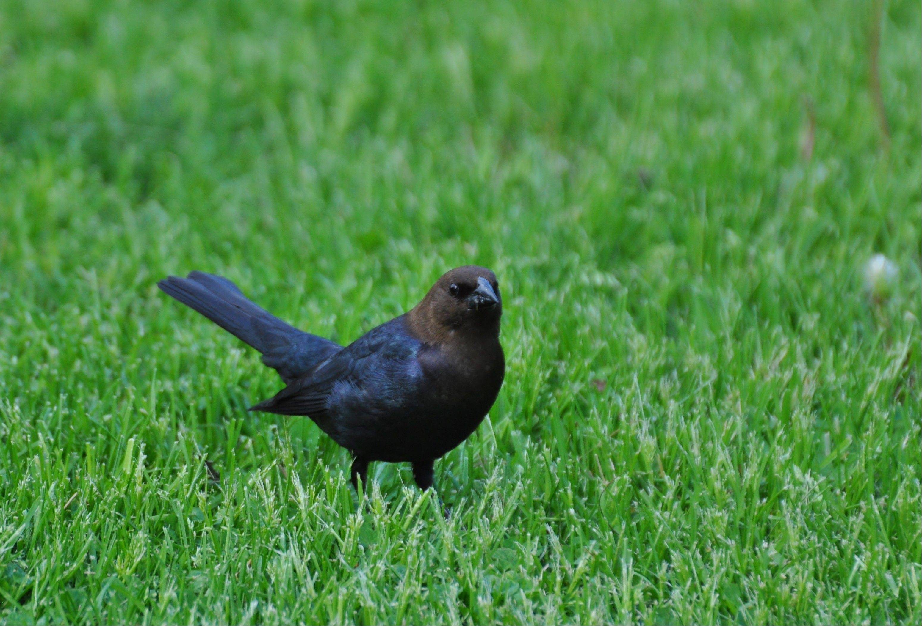 Cowbirds are commonly seen foraging on the ground with a raised tail. Only the male, shown here, has a brown head.