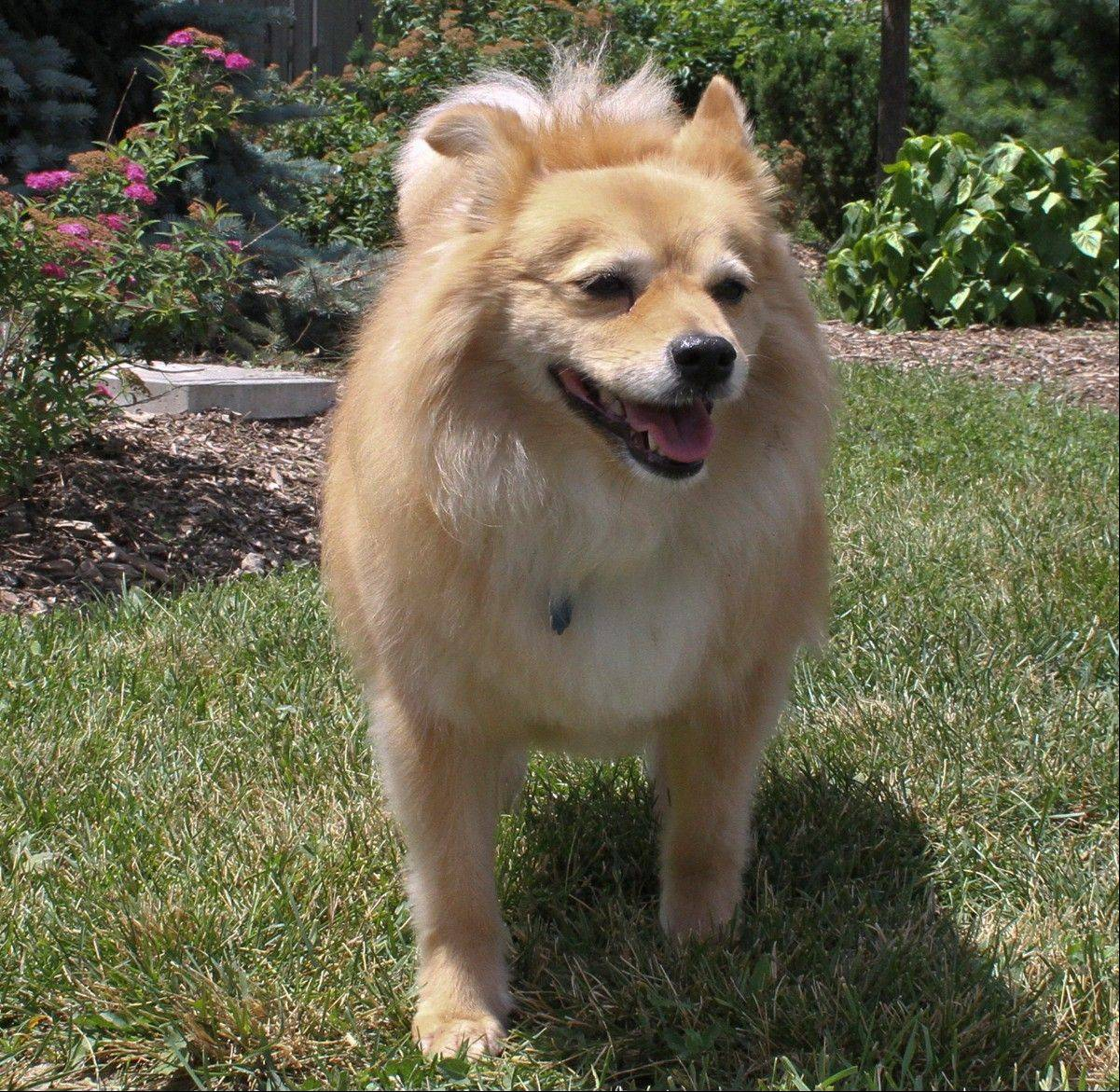 Meet Kashi, a 30-pound, female Spitz, who is about 8 years old.