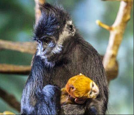 The Francois' langur's fur is a vivid burnt orange hue that stands out against the black fur of the older langurs.