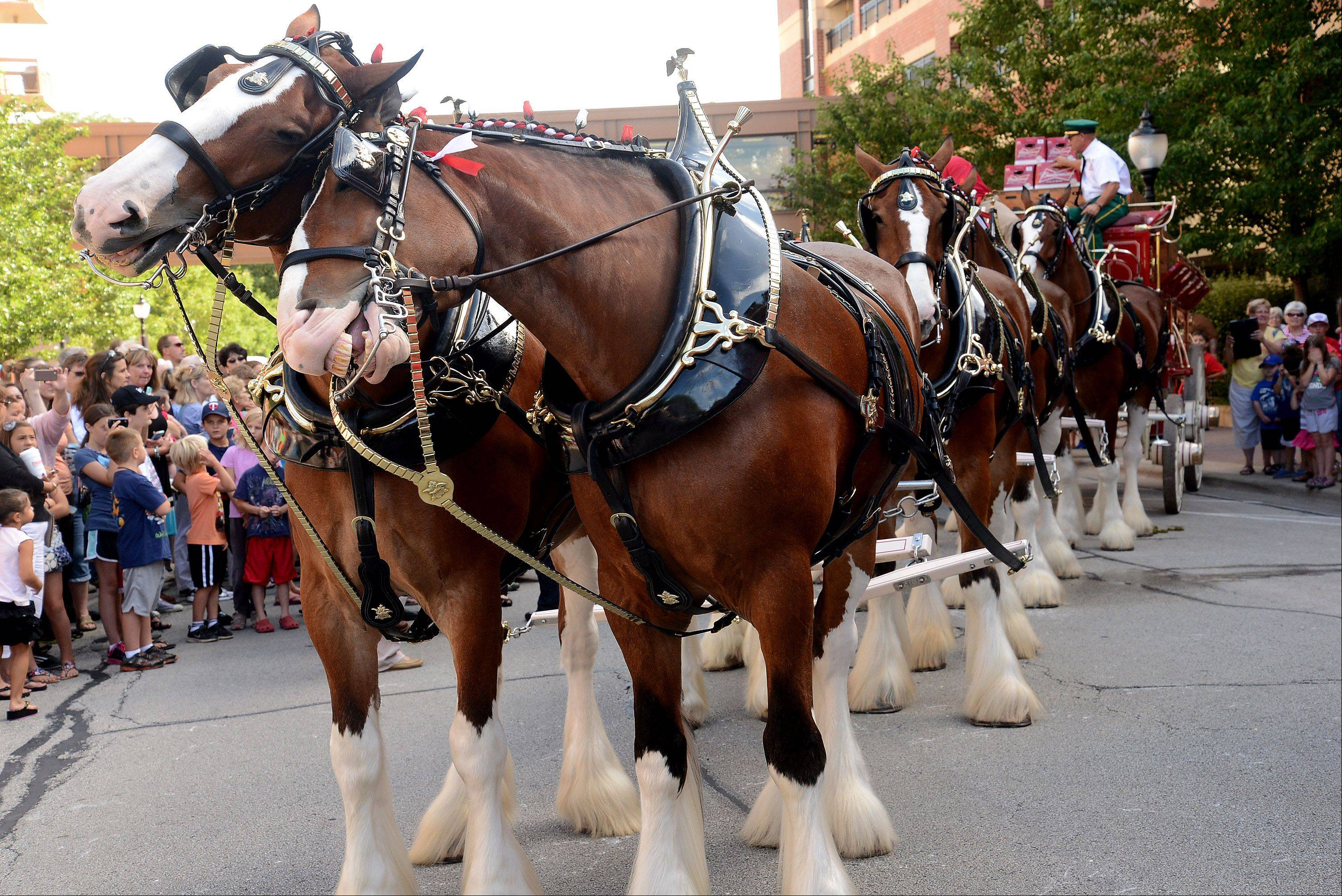 The Budweiser Clydesdales visit downtown Arlington Heights.