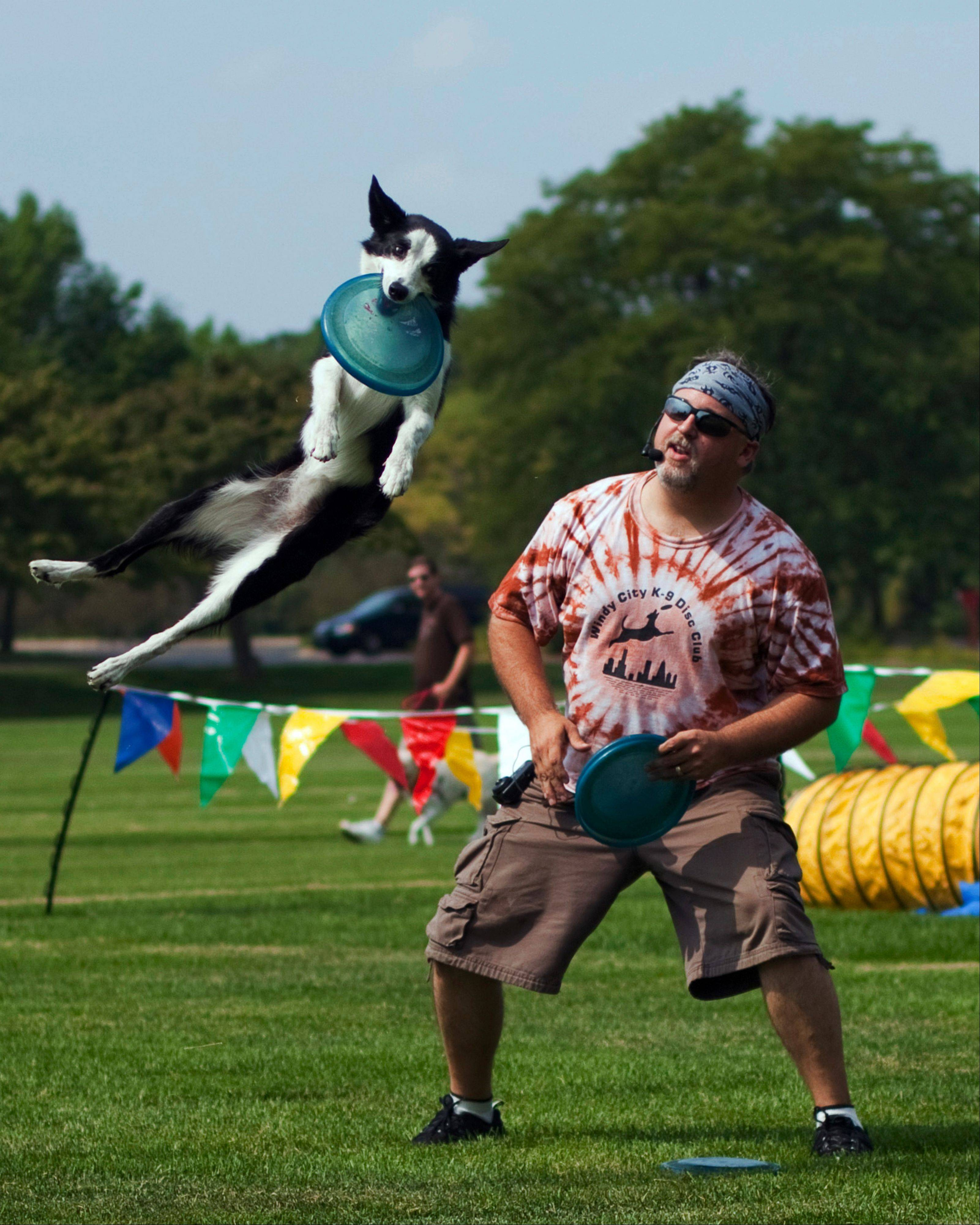 The Windy City K-9 Disc Club is one of the groups giving demonstrations at the Dog Days event at Wheaton's Cantigny Park.