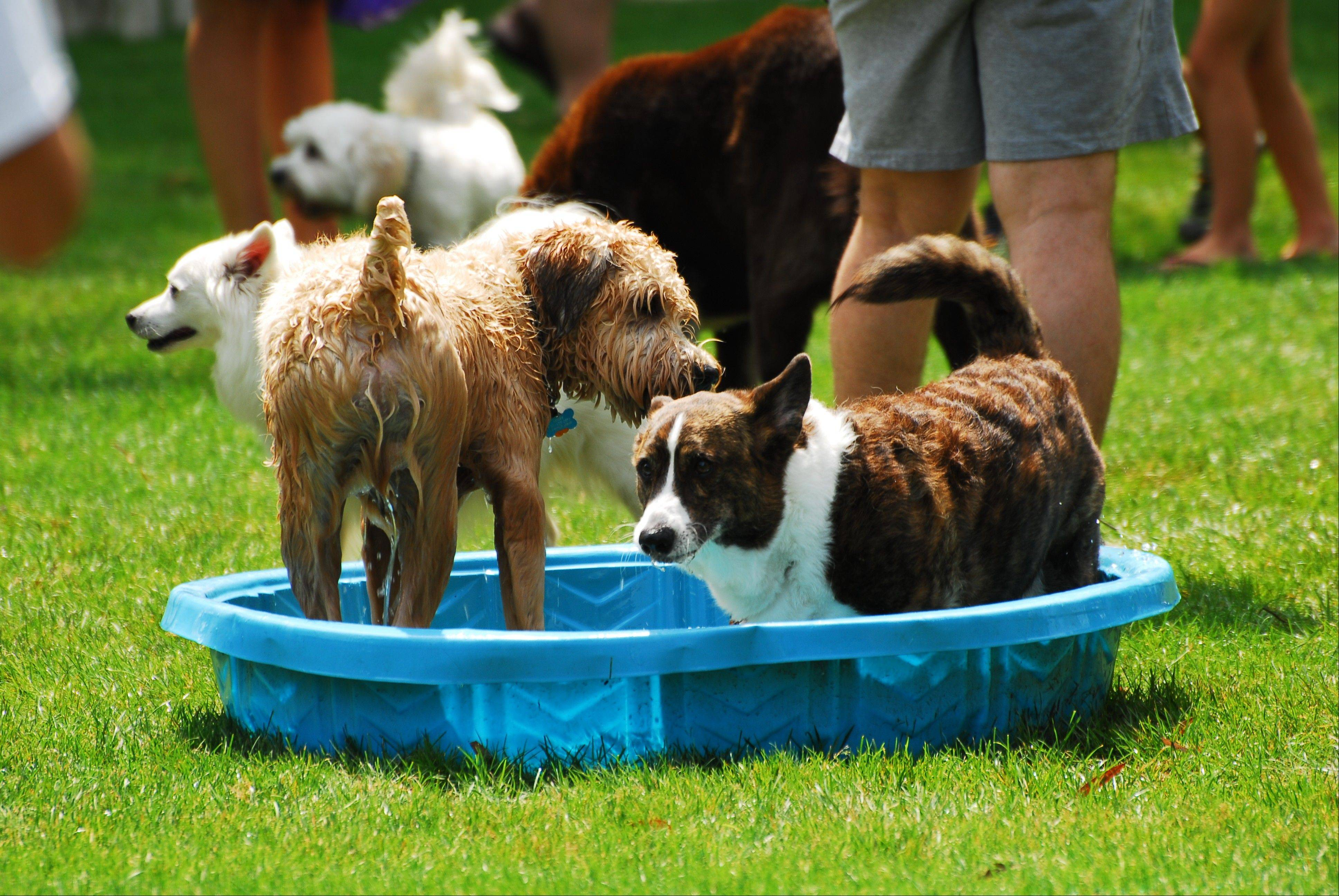 Dogs keep cool in the splash park area during the Dog Days event at Cantigny Park.