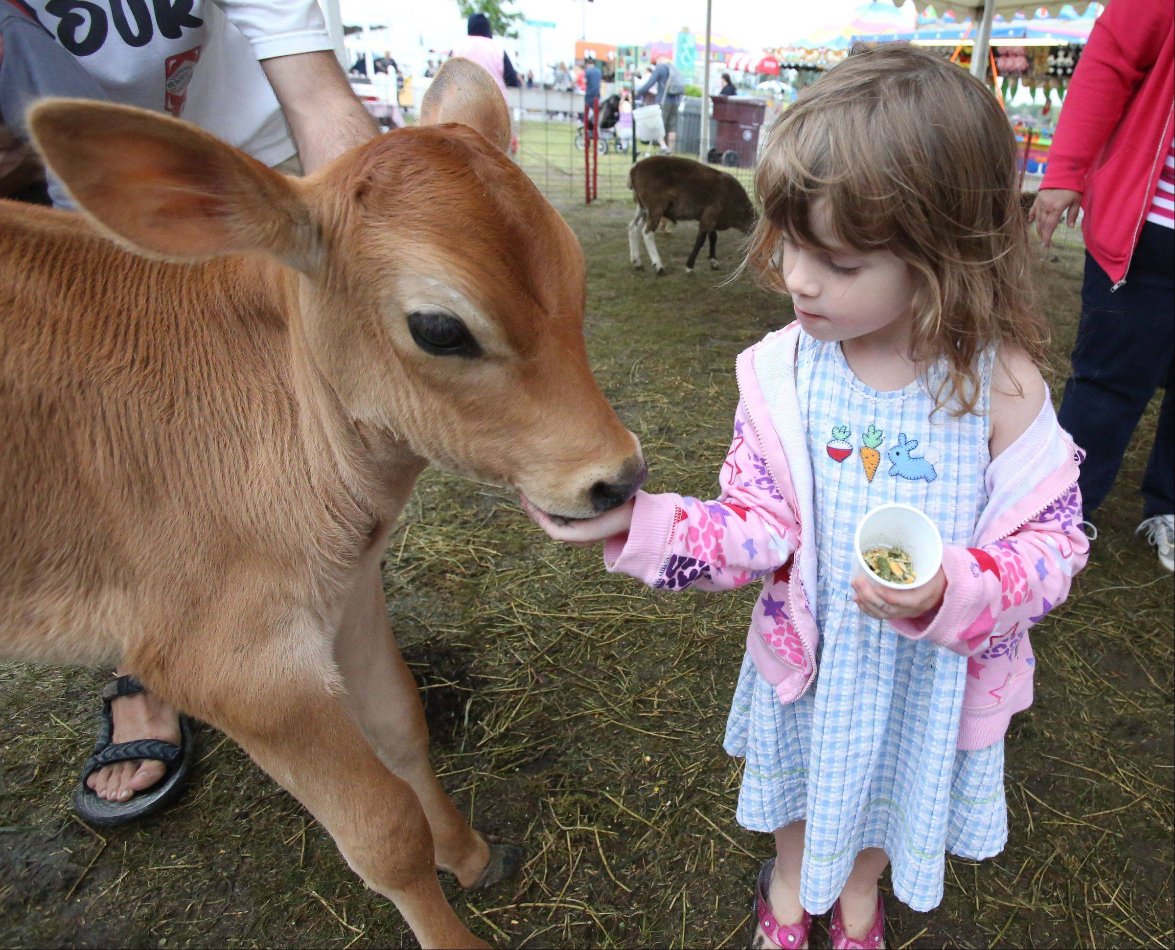 Quincie Carlson, 4, of Grayslake, feeds a calf in the petting zoo .