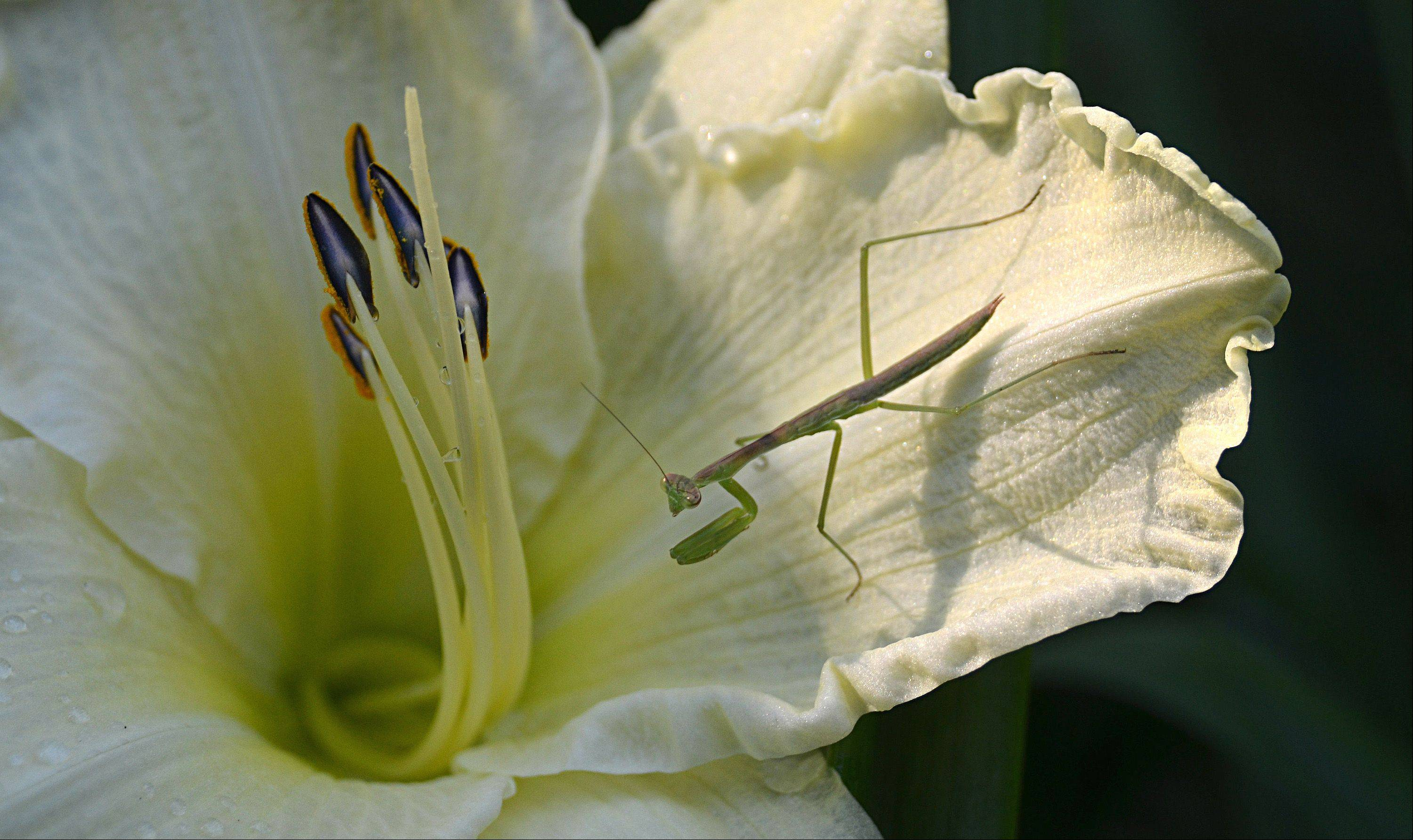 Here is a Praying Mantis perched on a lily in my backyard in Villa Park. This mantis, its siblings, were hatched in a jar in our home from a mantis egg case purchased at Pioneer Feed Store in Villa Park.
