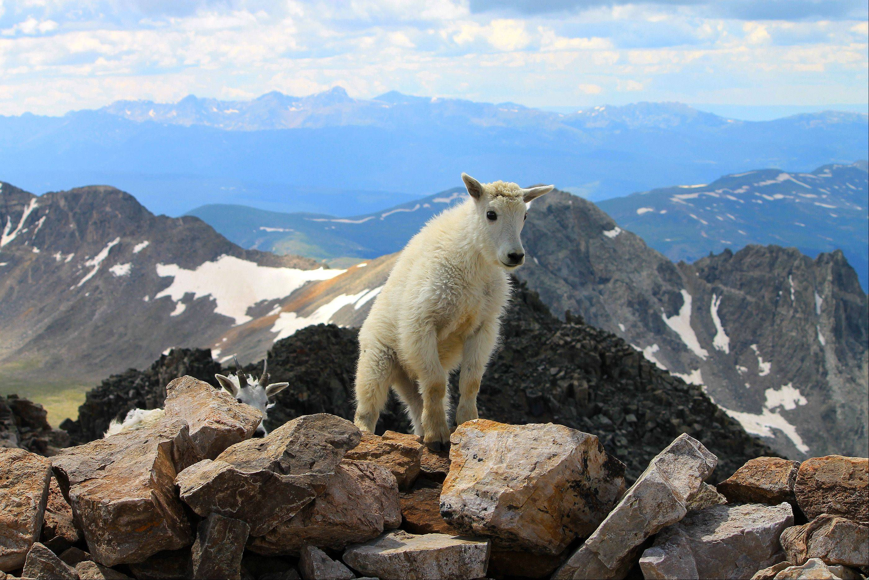 This picture was taken on the top of Mount Quandary near Breckenridge, CO. During a hiking trip, we decided to climb to the top of the mountain, which is the 13th highest mountain in Colorado at 14,265 feet. We saw mountain goats at the top and pictured is a baby goat.