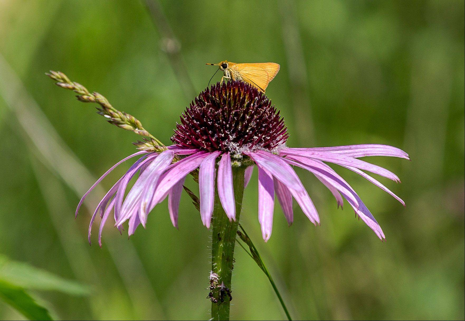 A moth sits on top of a purple coneflower last month in the Volo Bog State Natural Area.