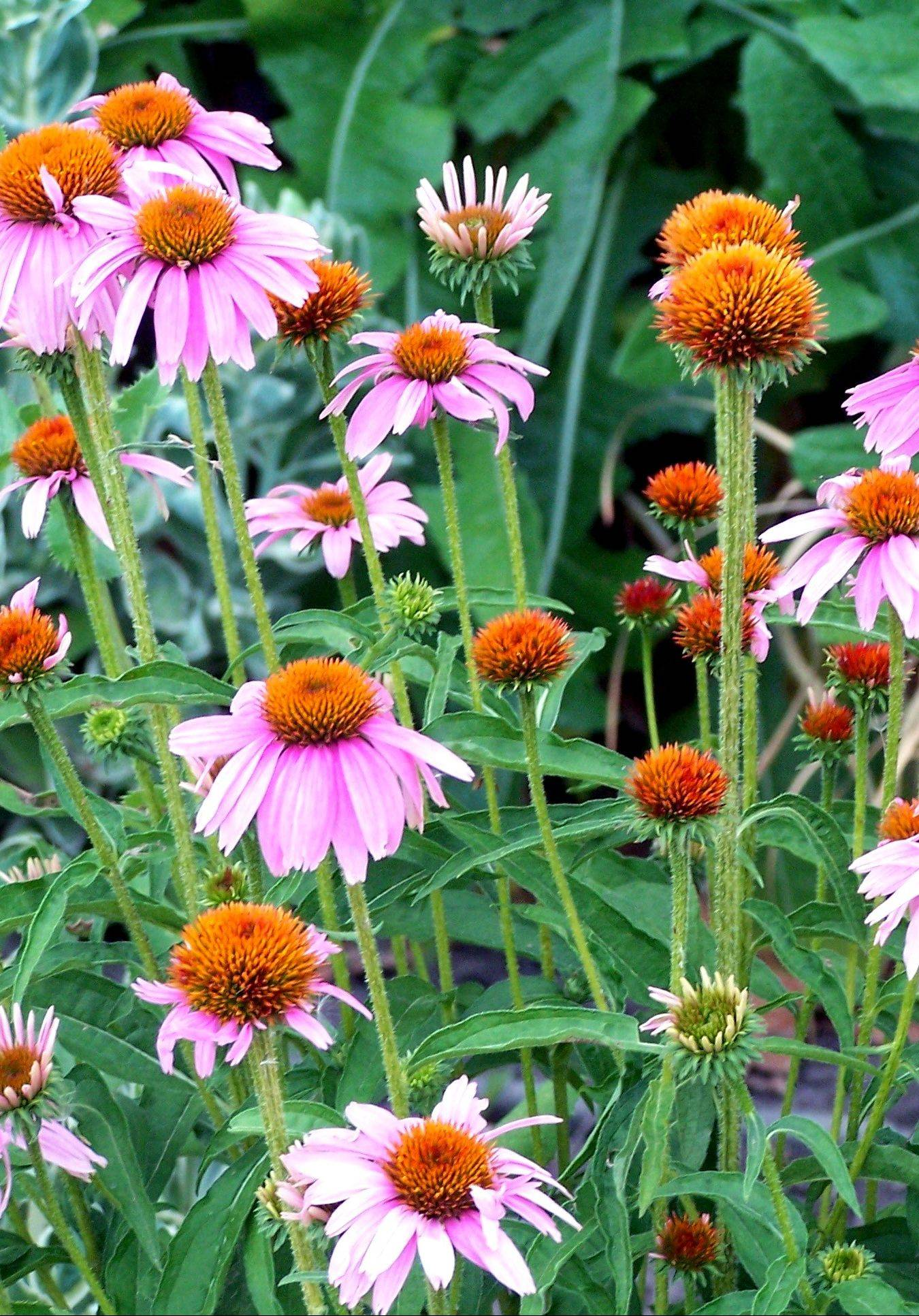 Leave seed heads on coneflowers for seed-eating birds.