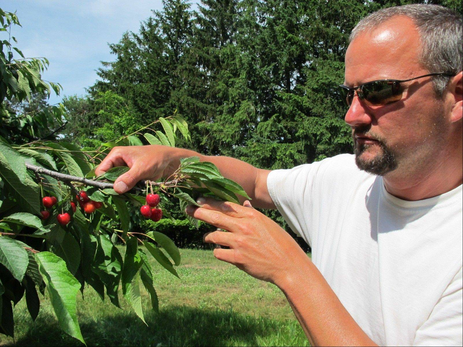 Patrick McGuire of Atwood, Mich., examines sweet cherries growing in his orchard. McGuire says a labor shortage caused by the immigration controversy is making it difficult for him and other Michigan fruit growers to harvest their crops.