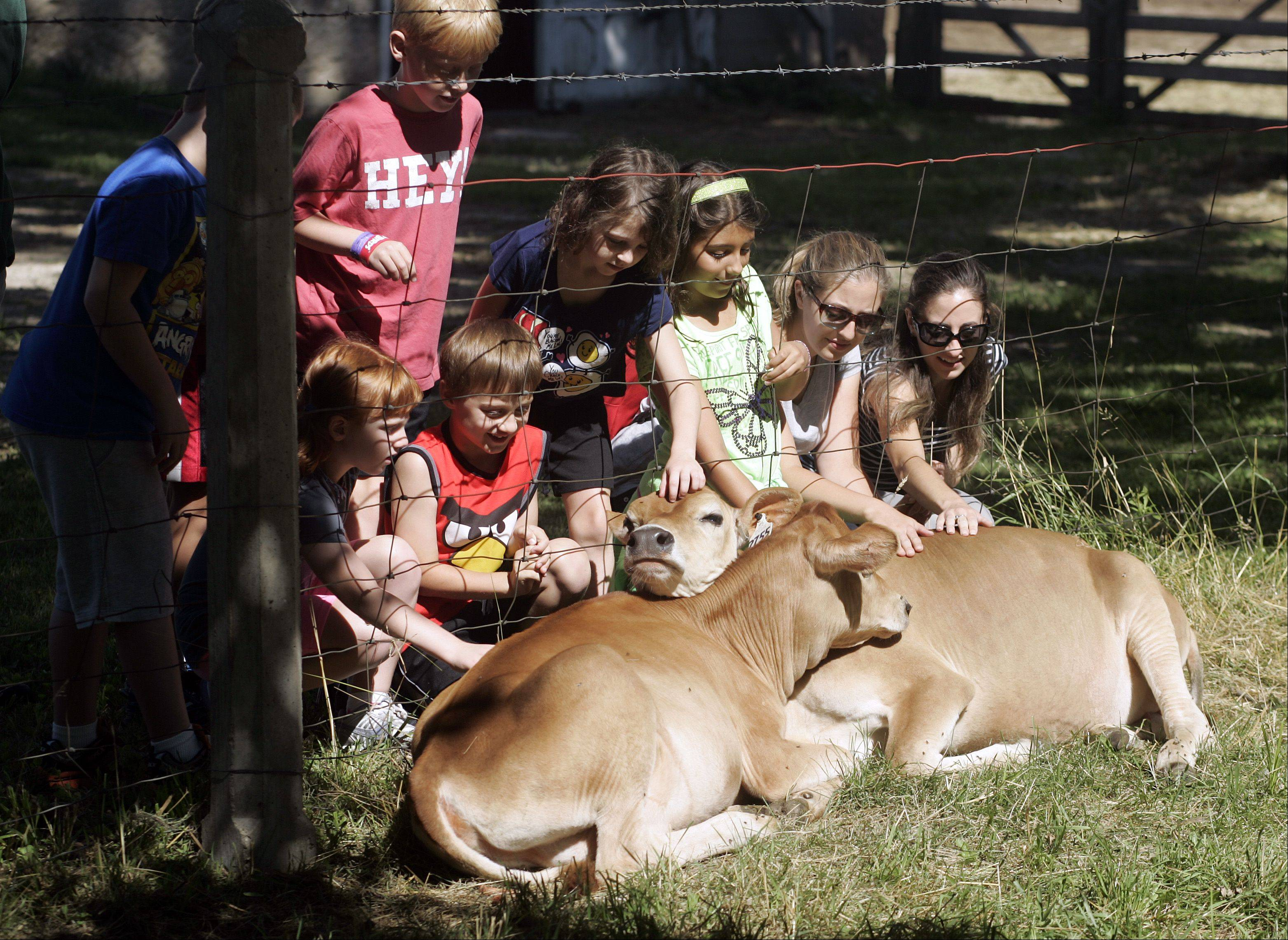 Students and teachers from EduCare in St. Charles take a moment to pet a couple new cows or calfs during a visit to Primrose Farm in St. Charles Wednesday, to learn more about life on a 1930's circa farm. The kids investigated the livestock and also were treated to a wagon ride through the park.