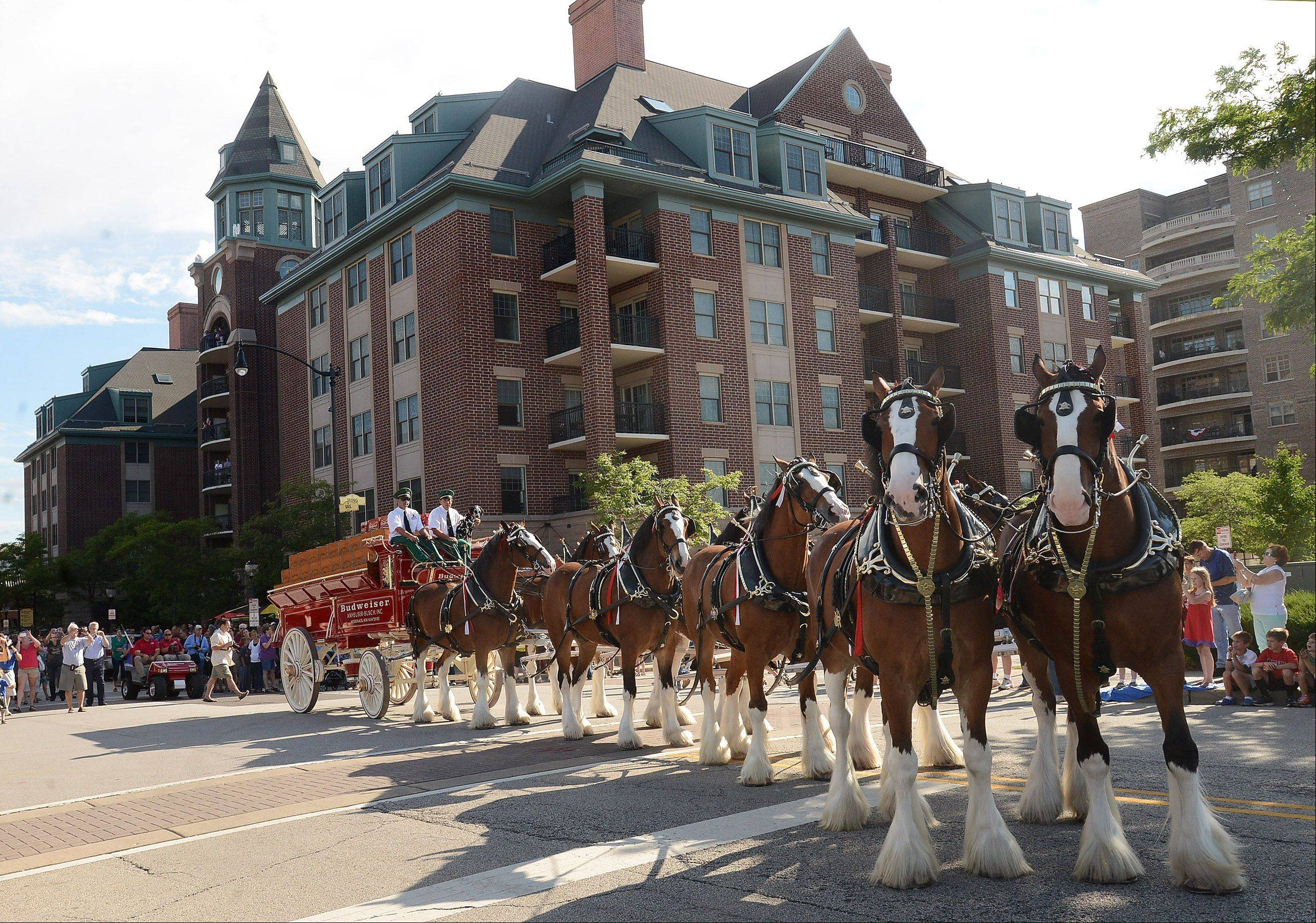 The Budweiser Clydesdales make their way down Vail Street in downtown Arlington Heights.