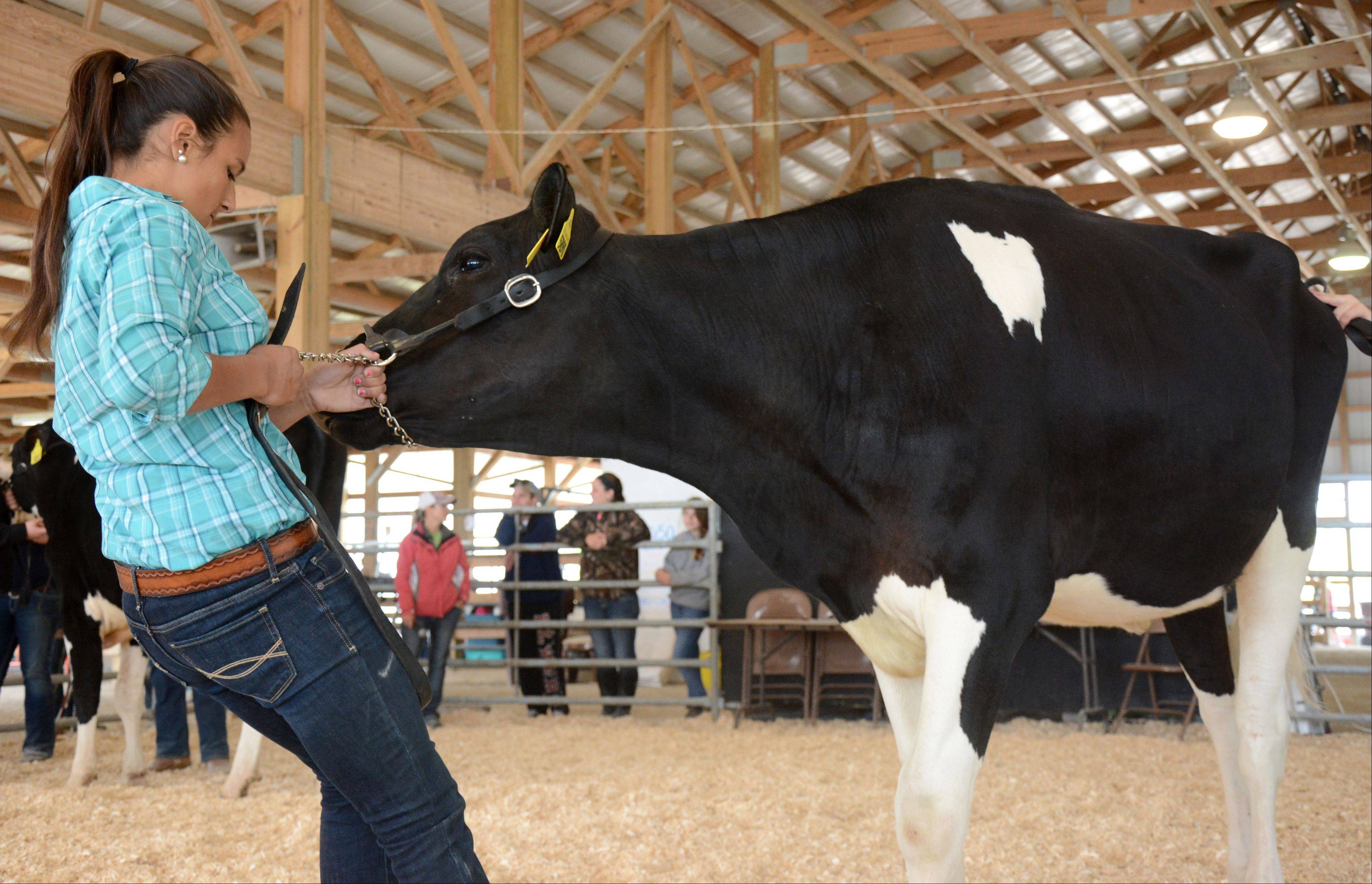Cassidy Price, of Golf, motivates her dairy cow to walk during the Master Showman competition Sunday at the Lake County Fair.