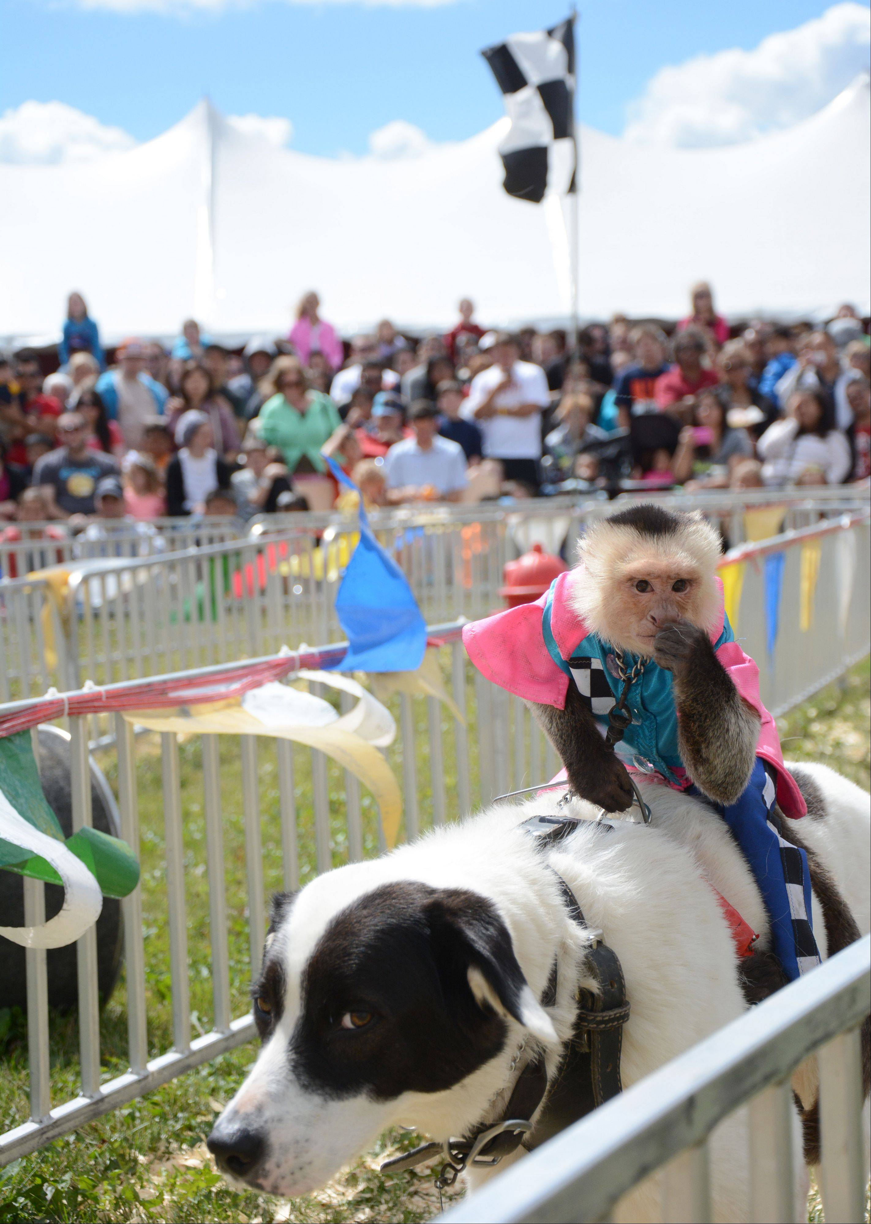 A crowd watches the Banana Derby in which monkeys jockey dogs at the Lake County Fair Sunday, July 28.