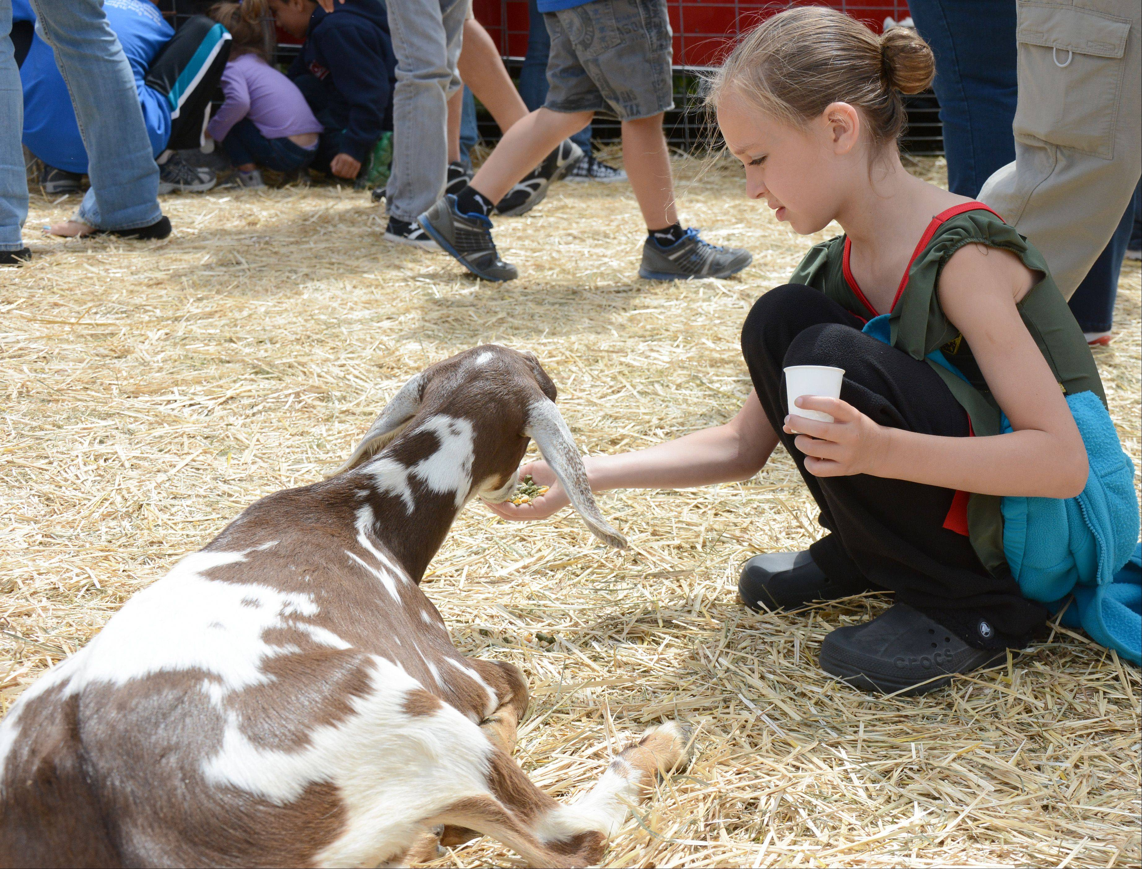 Zoe Easterberg, 8, of Lindenhurst, feeds a goat at the Lake County Fair Sunday, July 28.