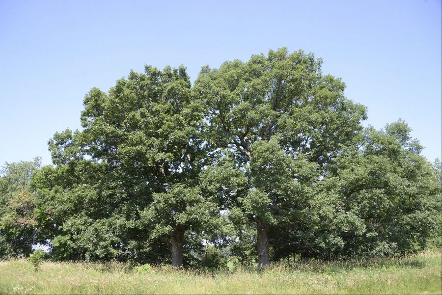 Mature white oak trees at Dick Young Forest Preserve in Batavia. Oak trees in Kane County are threatened by invasive species and lack of fire, says naturalist Valerie Blaine.