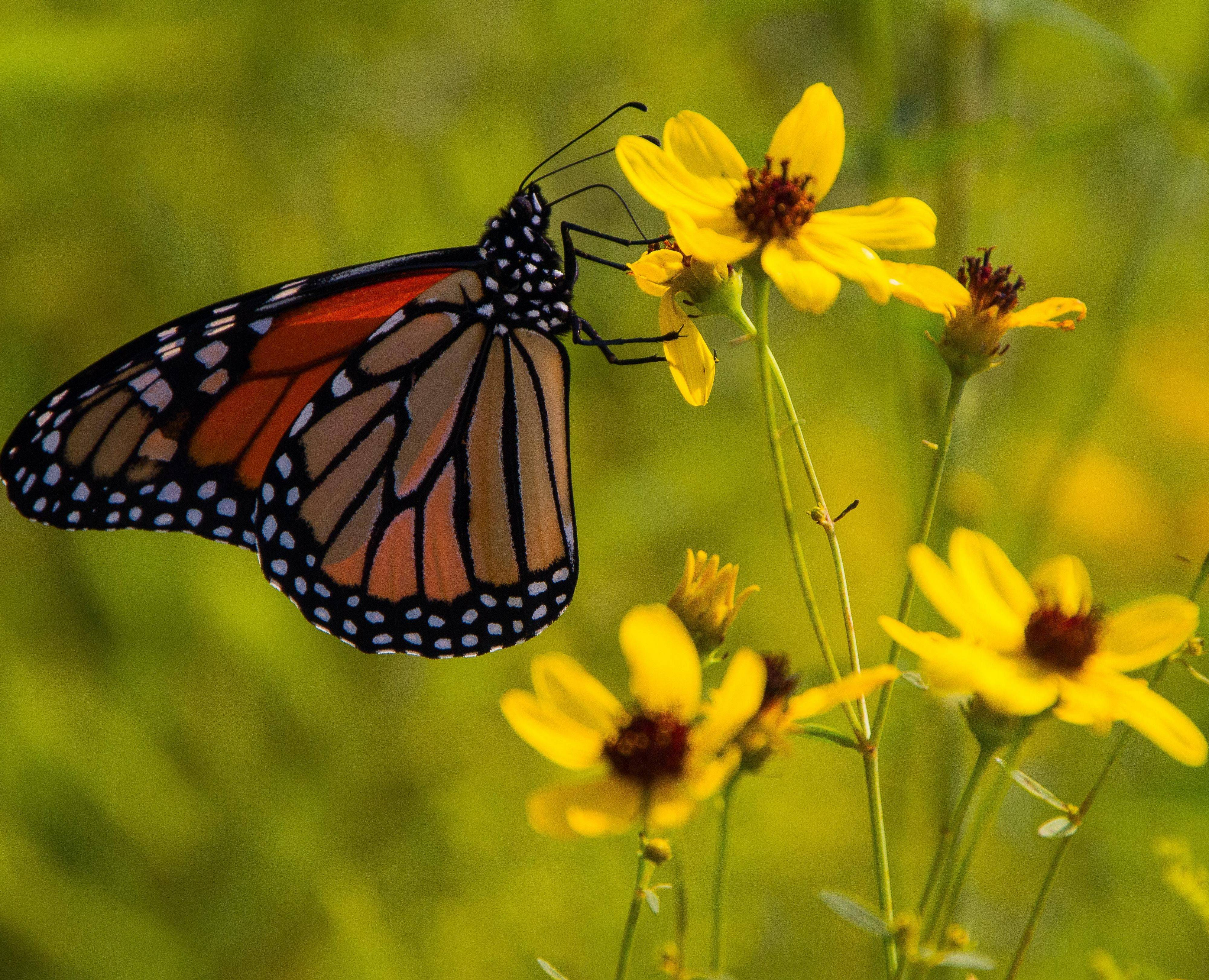"Citizens for Conservation presents ""The Metamorphosis of a Butterfly"" Saturday, Aug. 24."