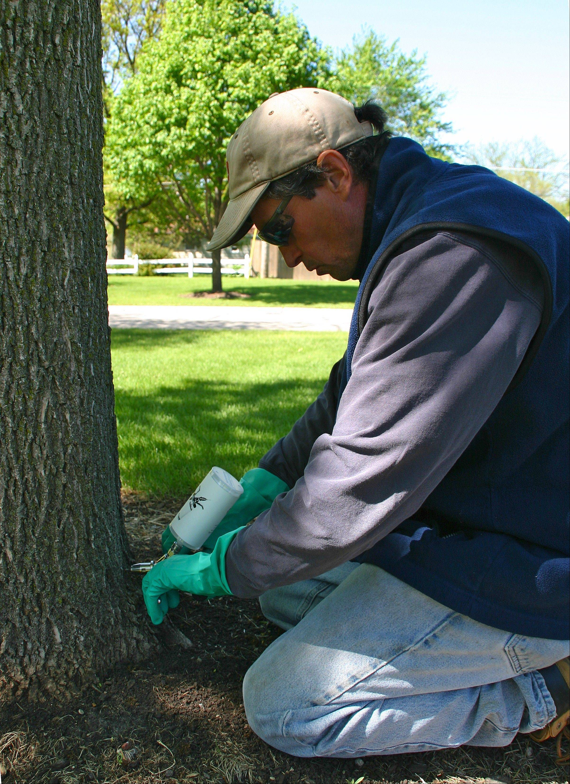 Steve Krotz, landscape maintenance supervisor, treats one of the ash trees at the Leisure Center with the insecticide Imidaclorprid.
