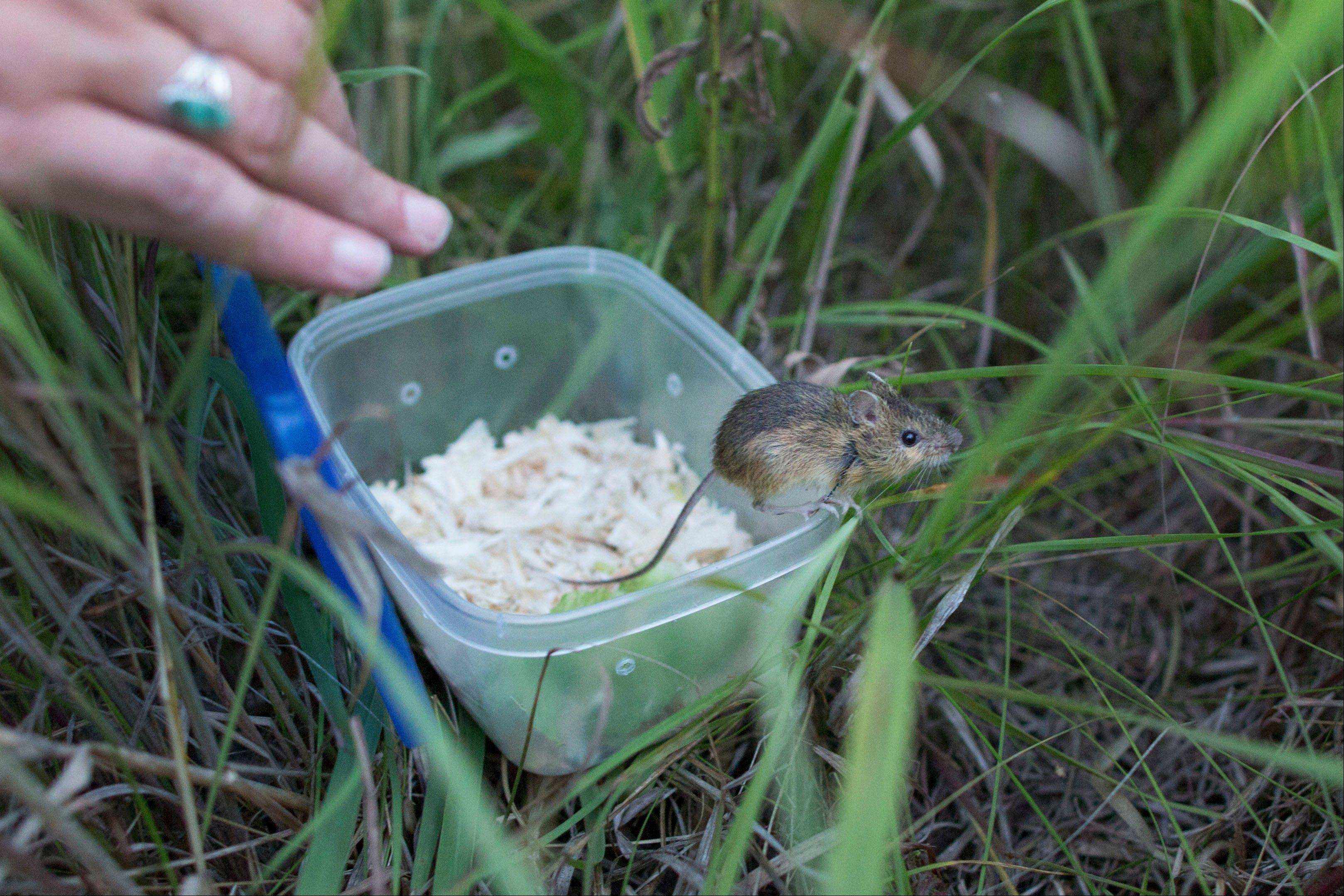 In this July 24, 2013 photograph, a meadow jumping mouse stands on the edge of a container while being released at Rollins Savanna in Grayslake, Ill. Scientists at Lincoln Park Zoo are raising meadow jumping mice and and releasing them into the wild in an effort to help restore dwindling Midwestern prairies.