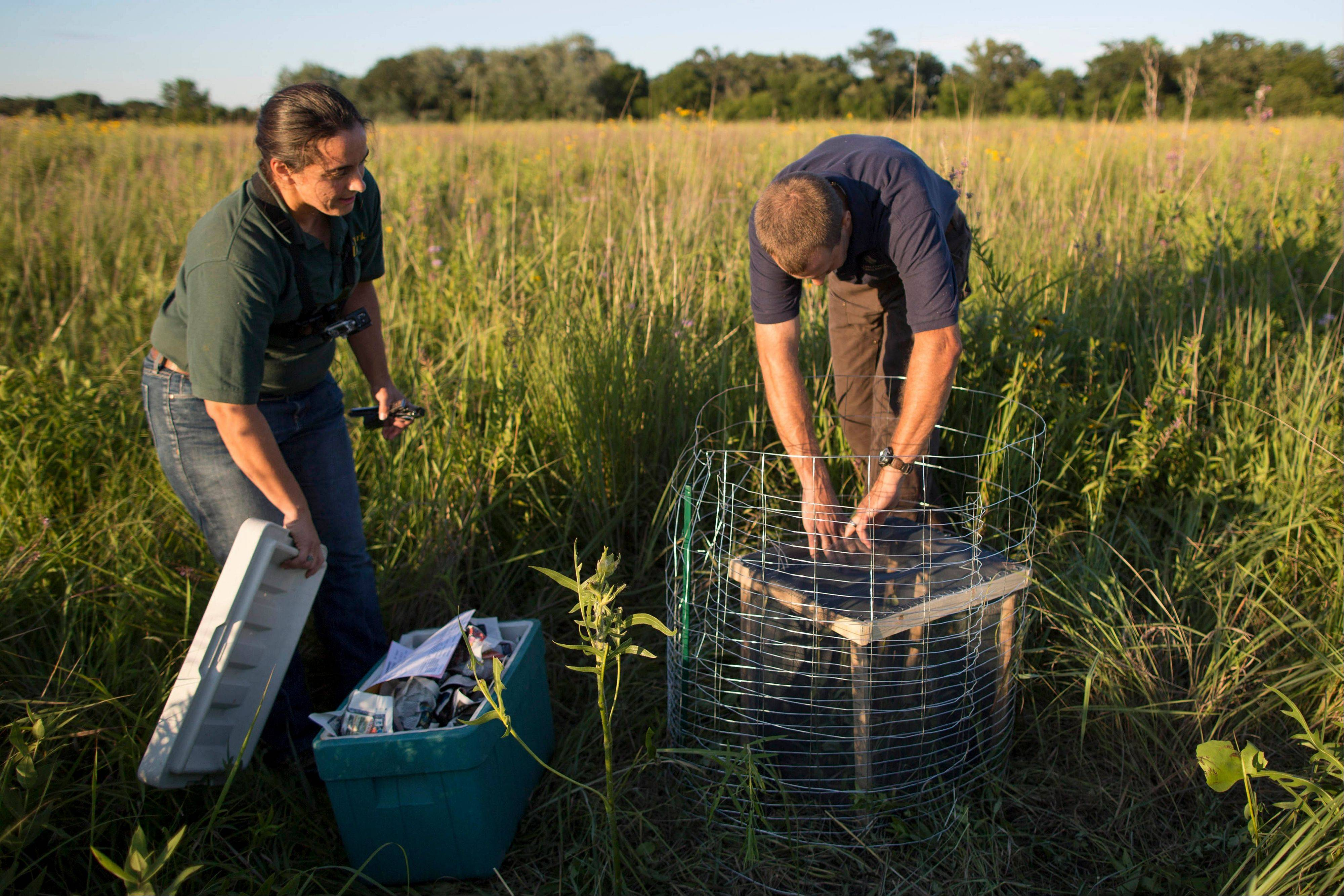 In this July 24, 2013 photograph, left, reintroduction biologist Allison Sacerdote-Velat, and wildlife biologist for Lake County Forrest Preserve Tim Preuss prepare to release a meadow jumping mouse at Rollins Savanna in Grayslake, Ill. Scientists at Lincoln Park Zoo are raising meadow jumping mice and and releasing them into the wild in an effort to help restore dwindling Midwestern prairies.