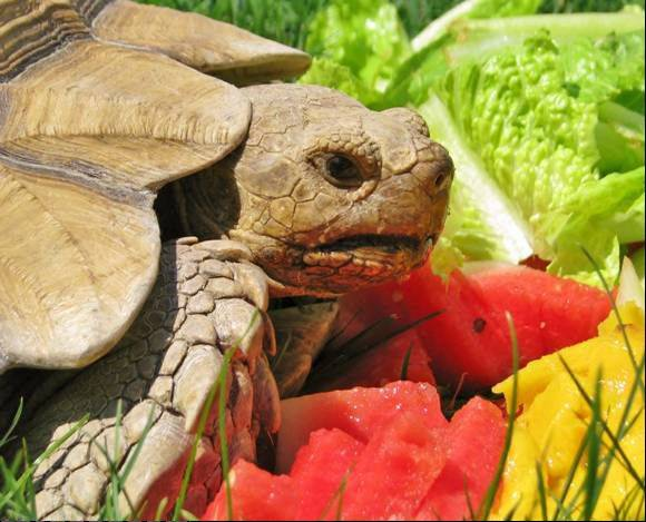 This is Babe, a 17-year-old, 45-pound pet African spur thigh tortoise, that has been missing since he escaped from his Wildwood home July 17.
