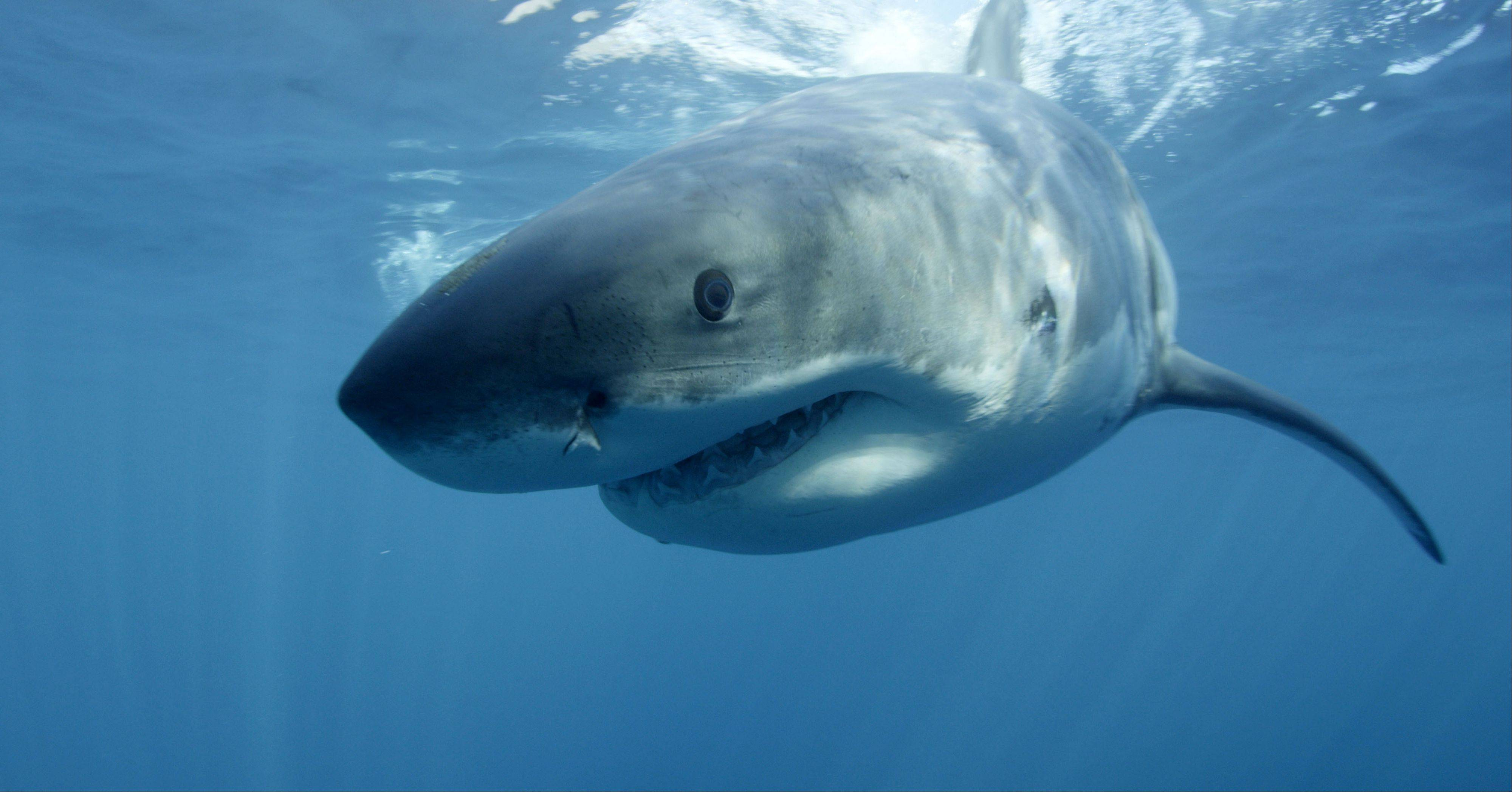 A great white shark near Guadalupe Island off the coast of Mexico. Shark Week begins at 8 p.m. Sunday, Aug. 4, on Discovery.