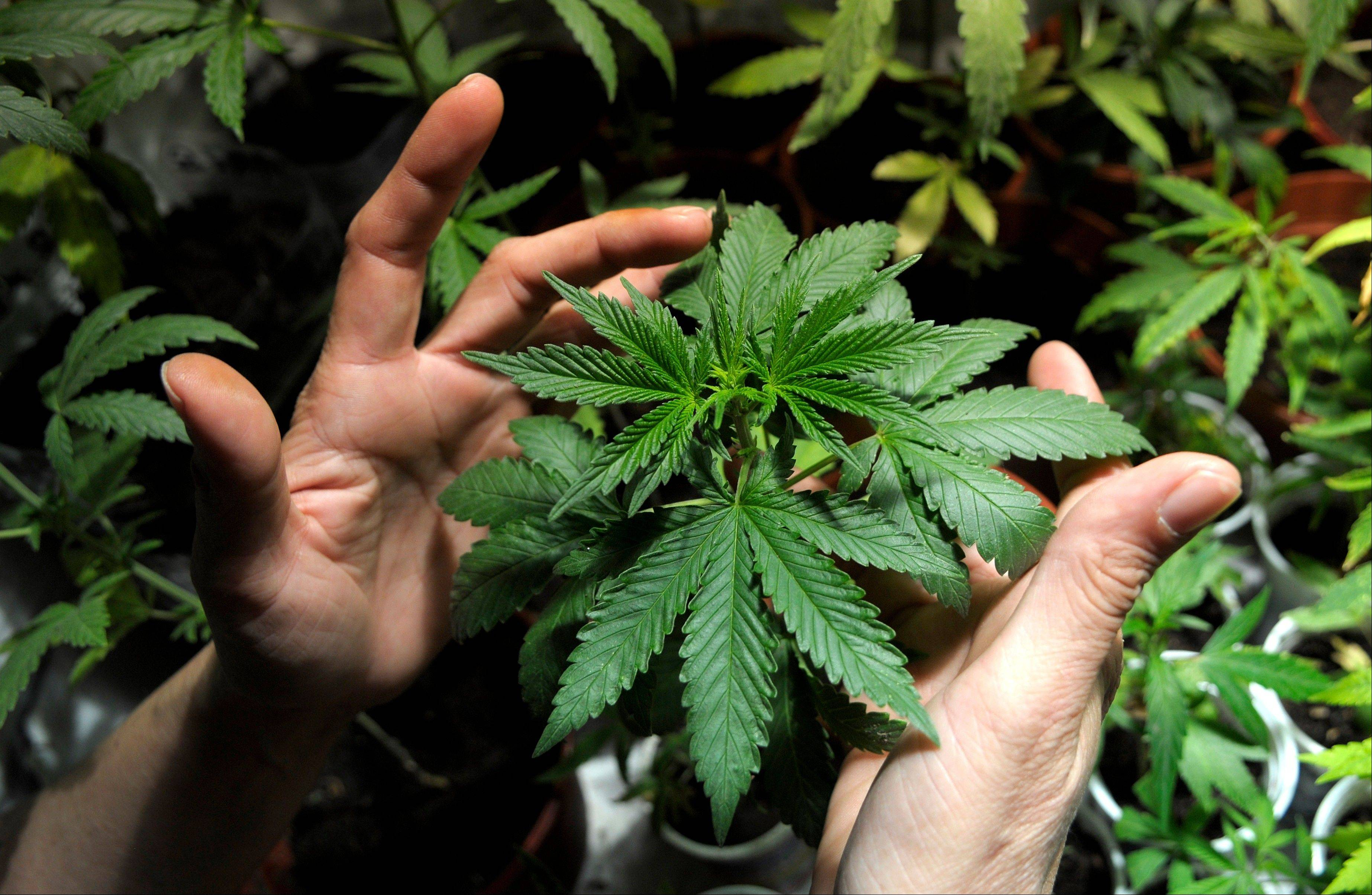 A marijuana grower shows plants he is cultivating with some friends in Montevideo, Uruguay.